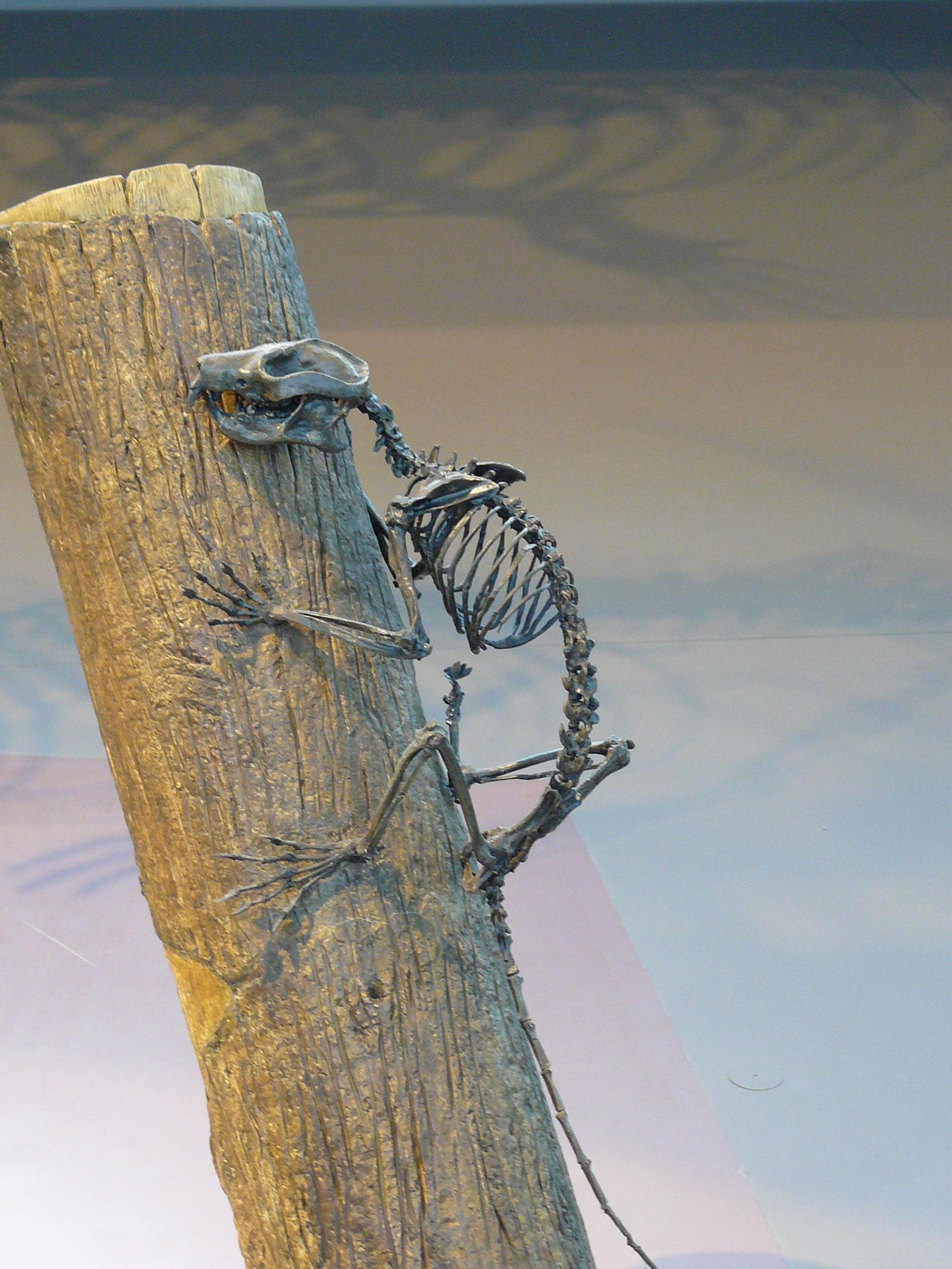 Modellen & Reconstructies | Plesiadapis II | Brussel Natuur Museum