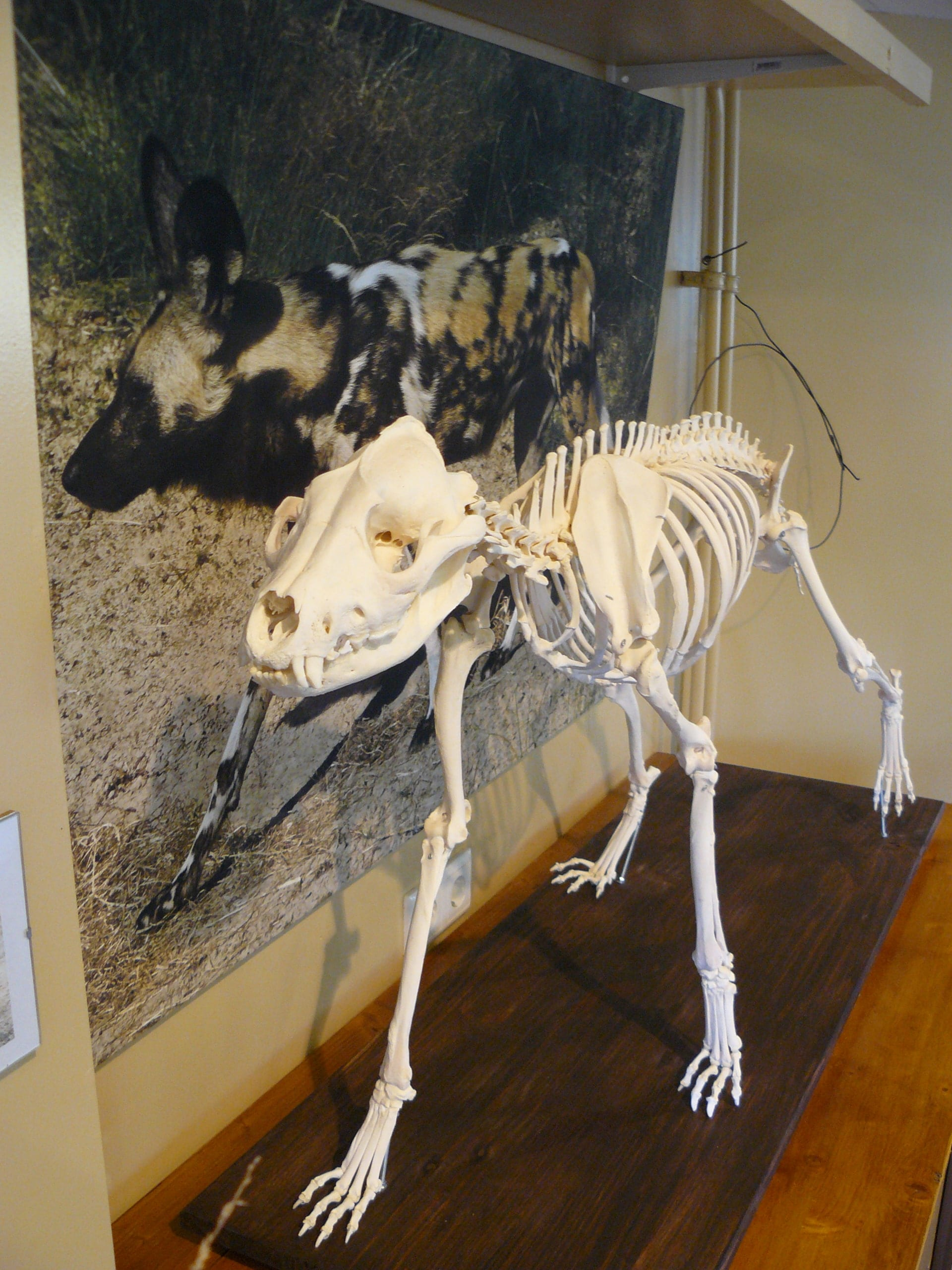 Skelette | Afrikanischer wilder Hund | Safaripark Beekse Bergen