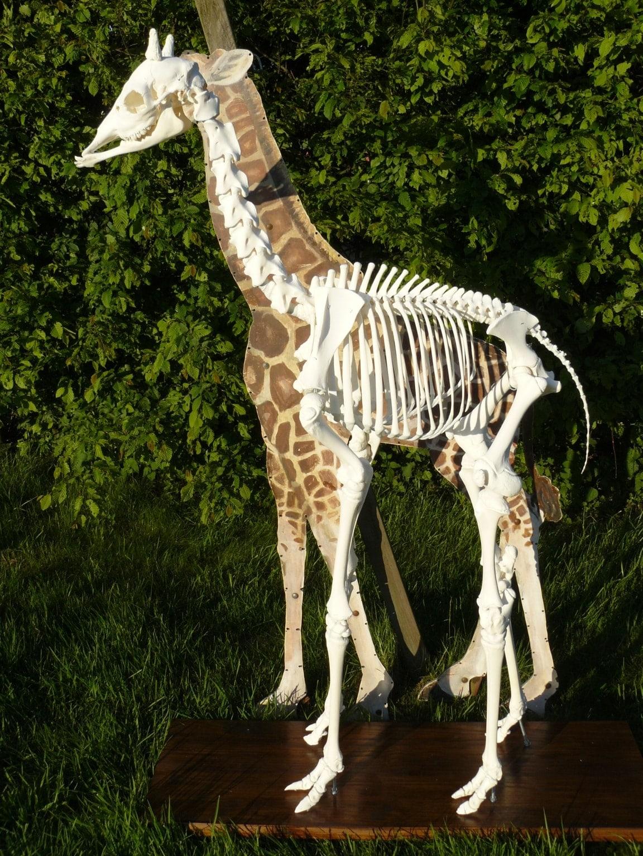 Skeletten | Giraffe Jong