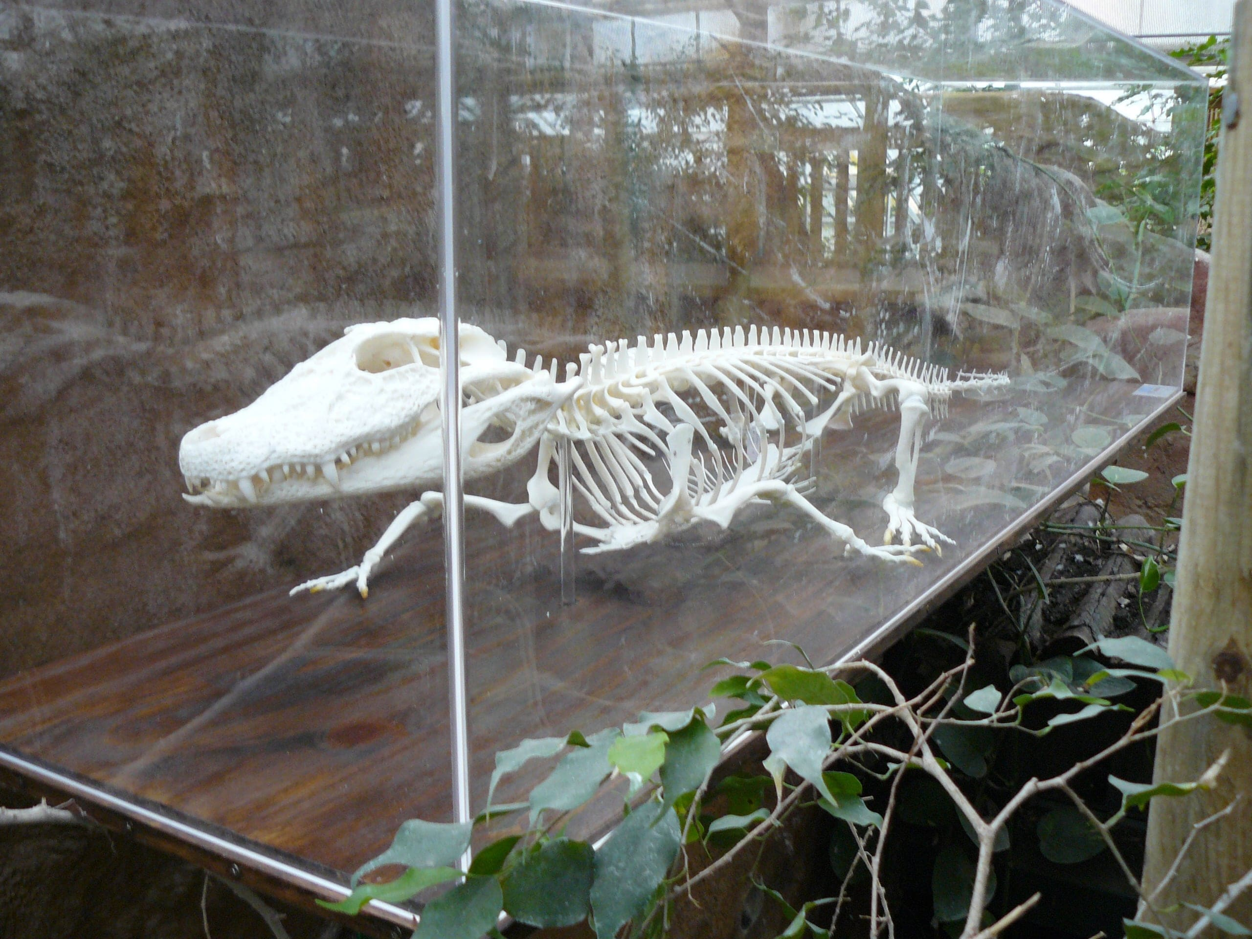 Skeletten | Kaaiman | Rotterdams Natuur Museum
