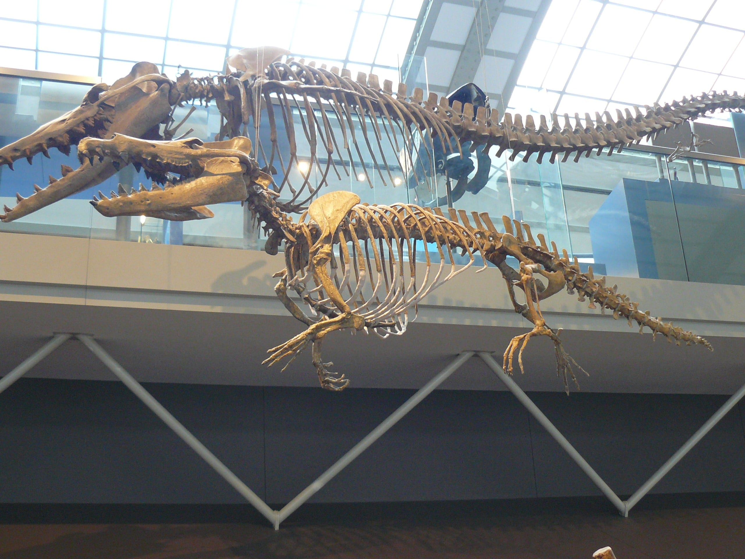 Skeletten | Maiacetus I | Brussels Natuur Museum