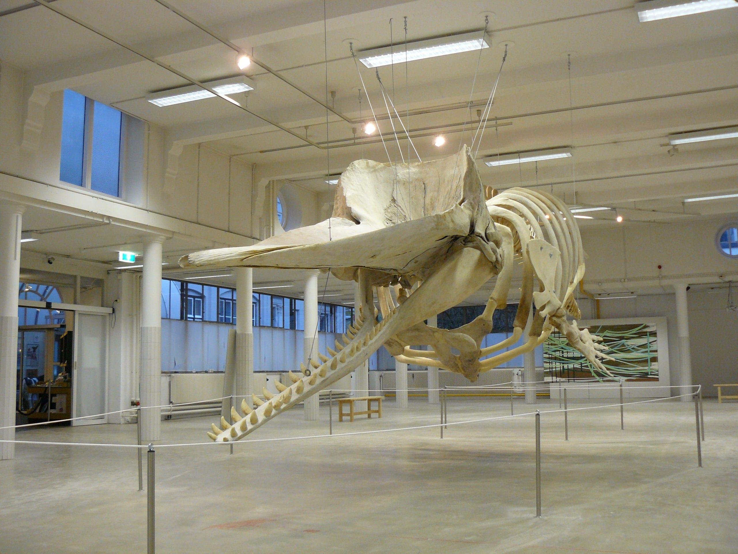 Skeletten | Potvis VI | Natuur Museum Brabant