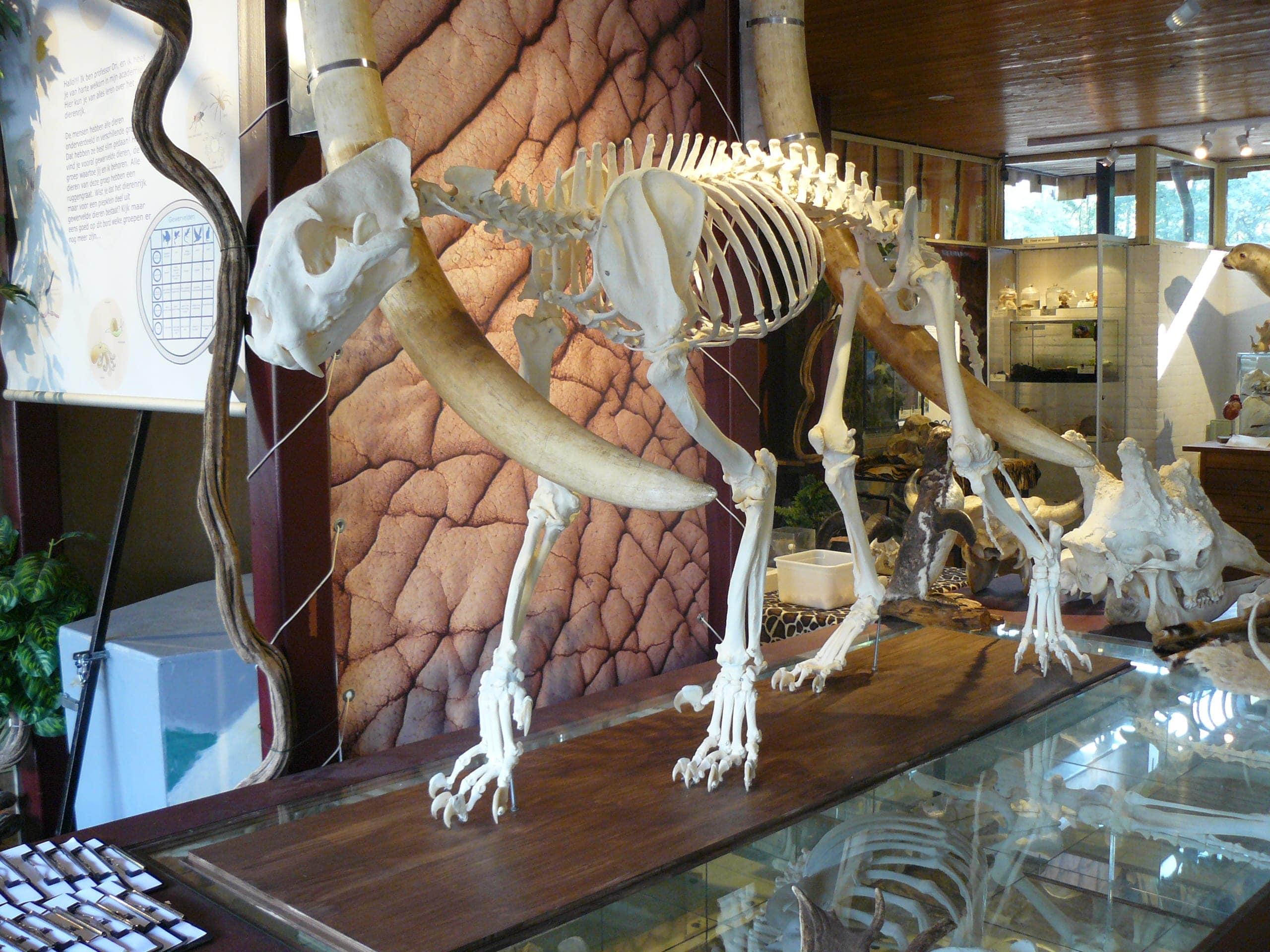 Skeletten | Tijger | Ouwehands Dierenpark