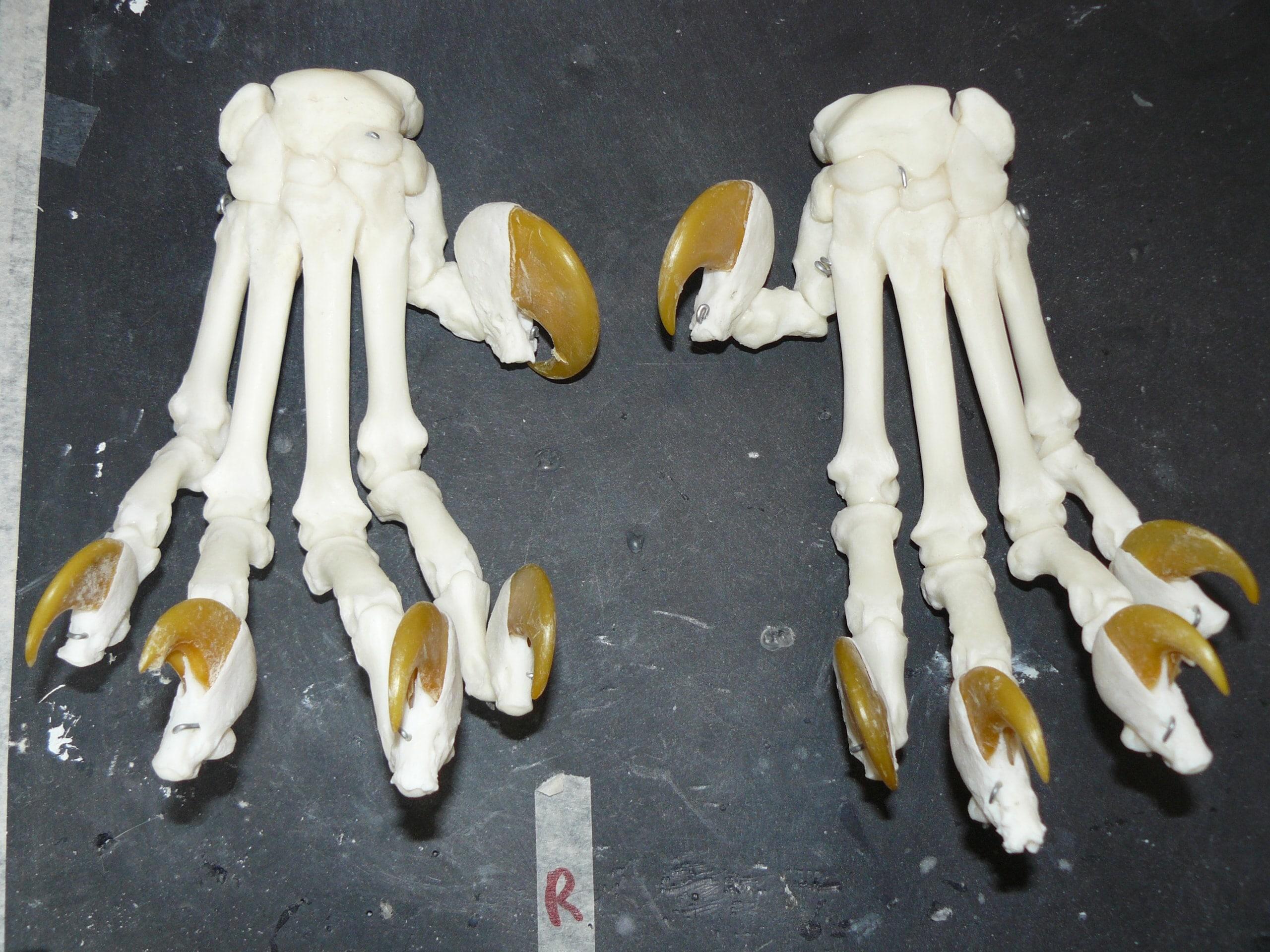 Skeletten | Tijgerklauwen II | Safaripark Beekse Bergen