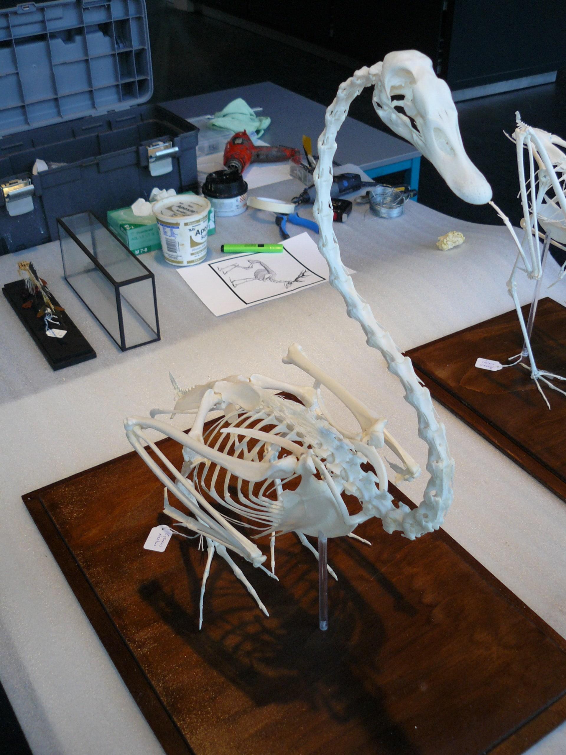 Skeletten | Zwarte Zwaan | Natuur Museum Brabant