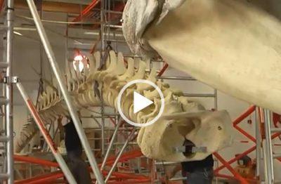 VIDEO Pottwal | Natuur Museum Brabant (NL)