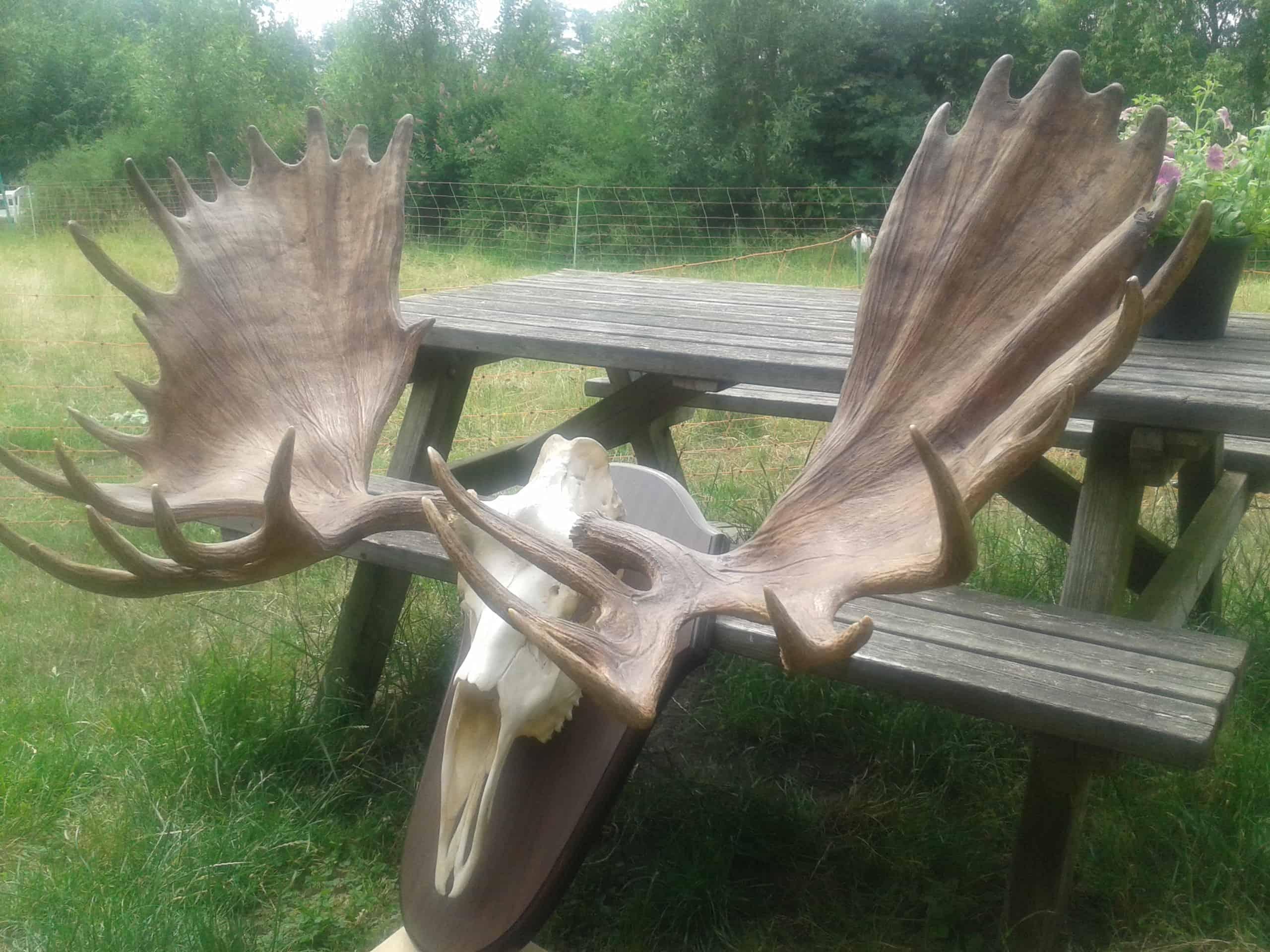 Skelette | Kamtschatka-Elch | Präparation von Jagdtrophäen