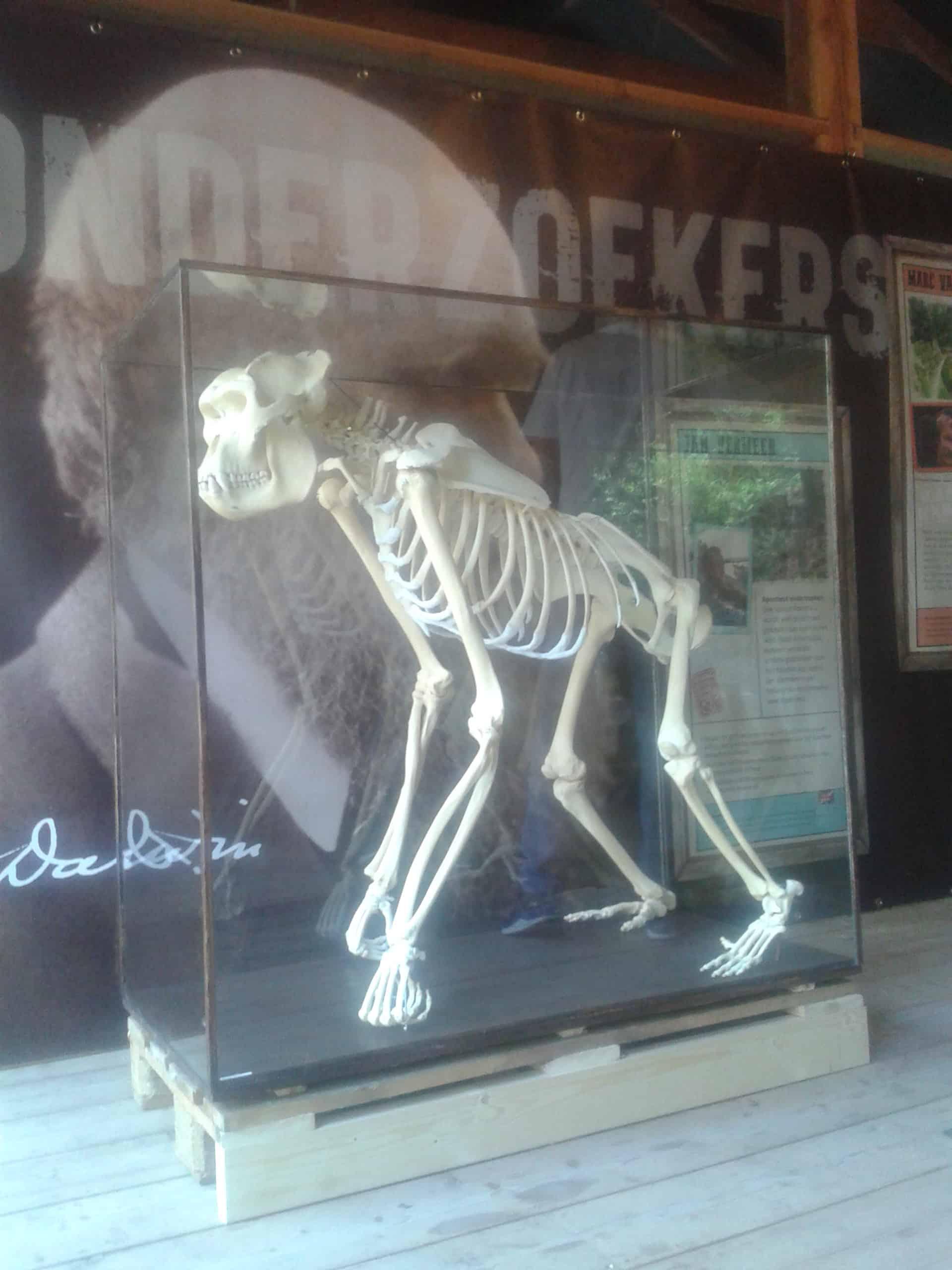 Skelette |  Silberrücken-Gorilla II | Apenheul Primate Park