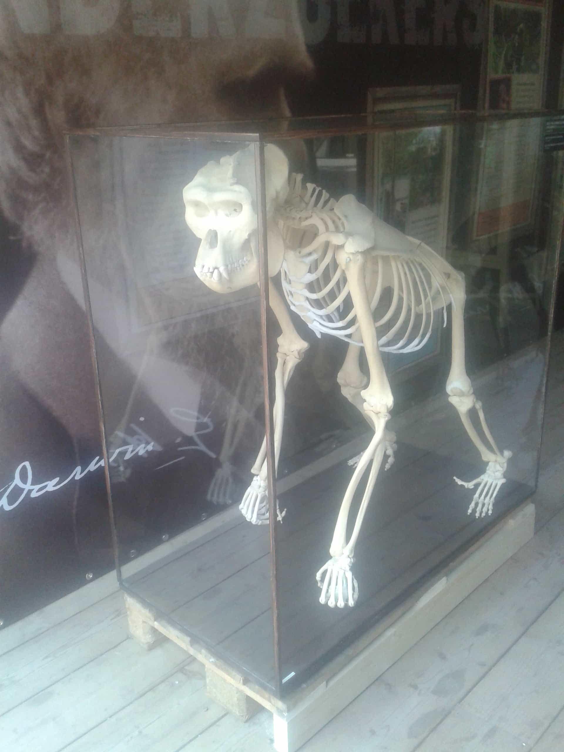 Skelette |  Silberrücken-Gorilla | Apenheul Primate Park