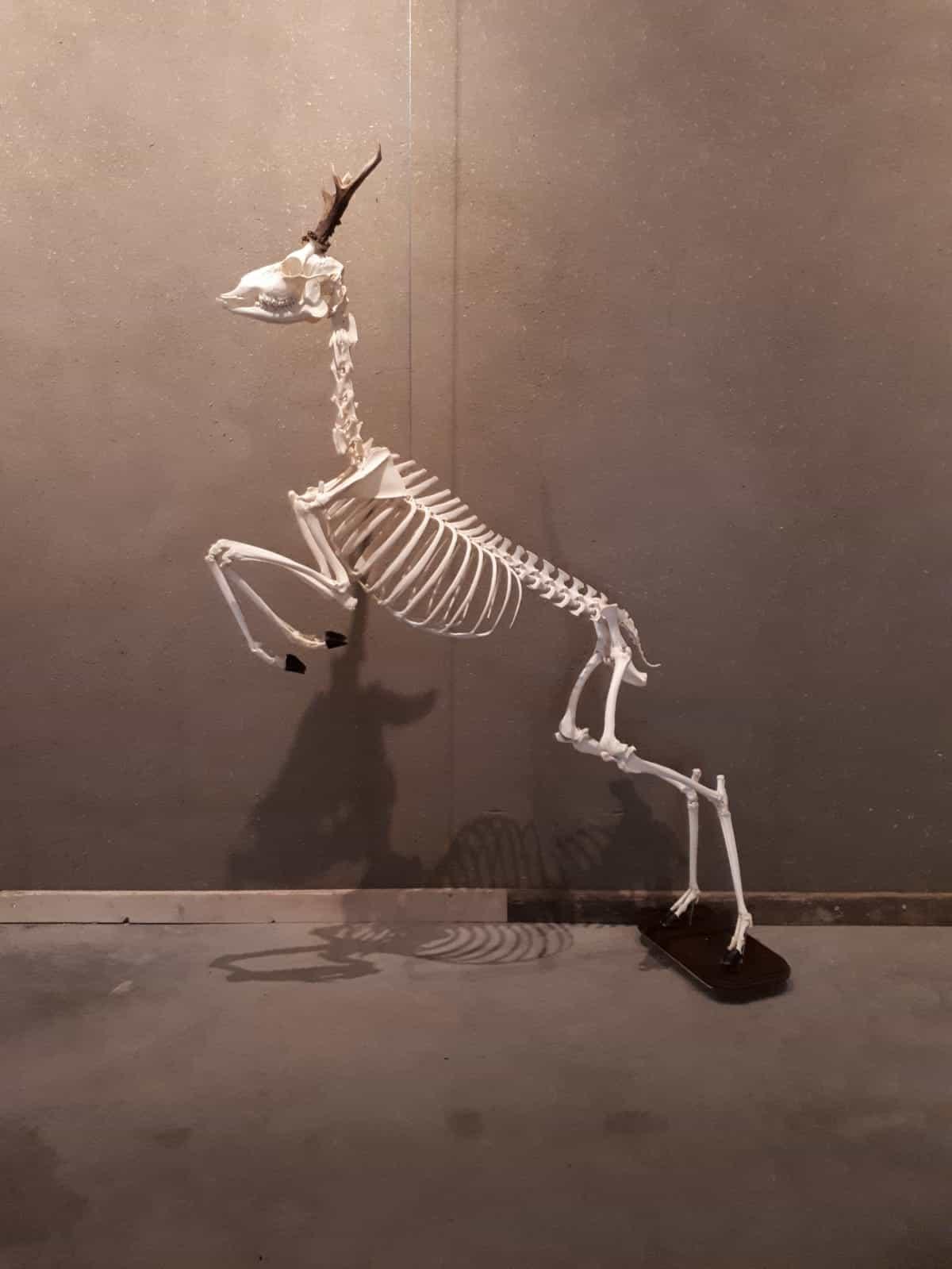 Skelette | springender Hirsch | Limburghuis GAIA Zoo
