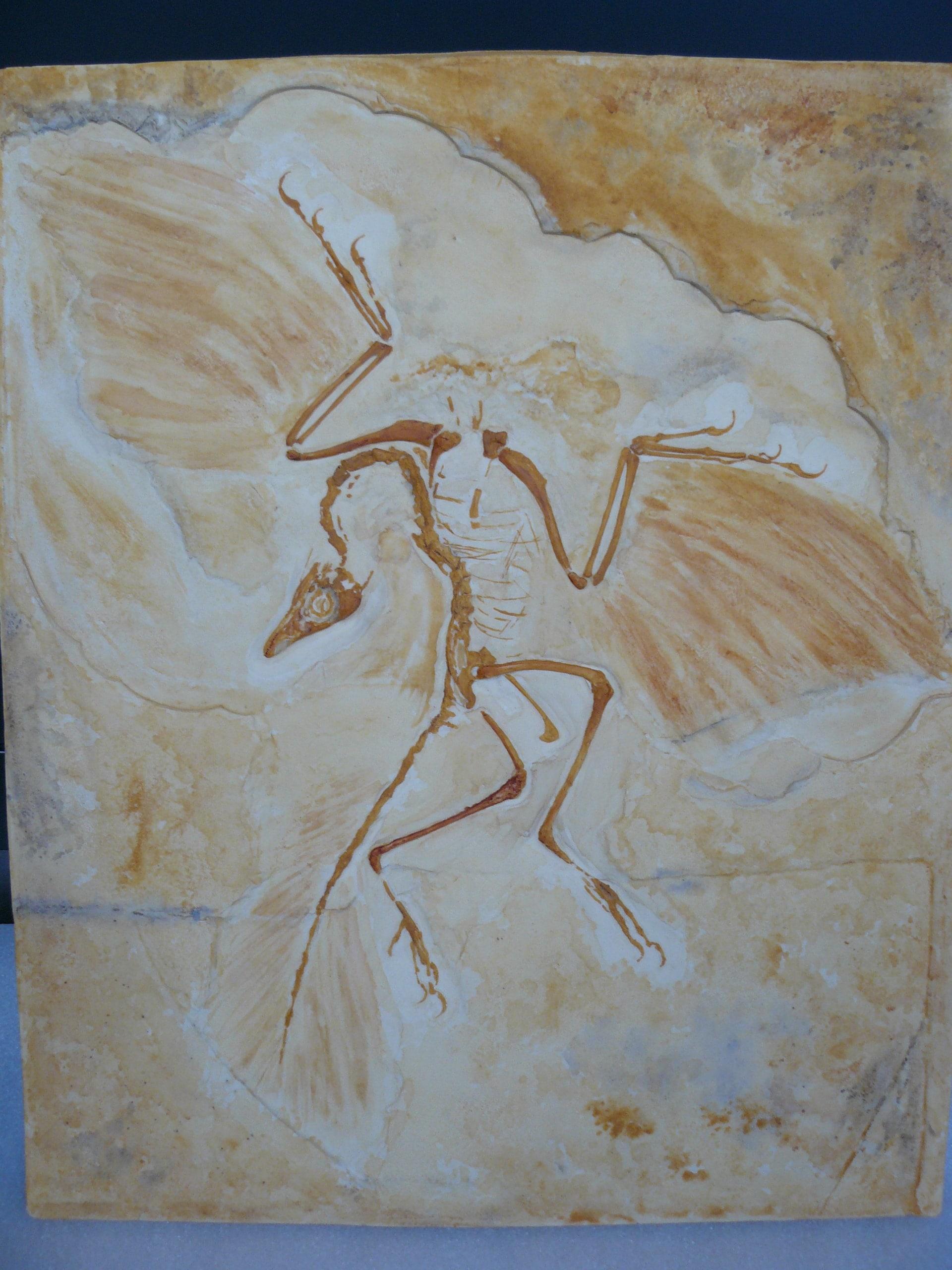 Modellen & Reconstructies | Achaeopteryx | Natuur Museum Brabant
