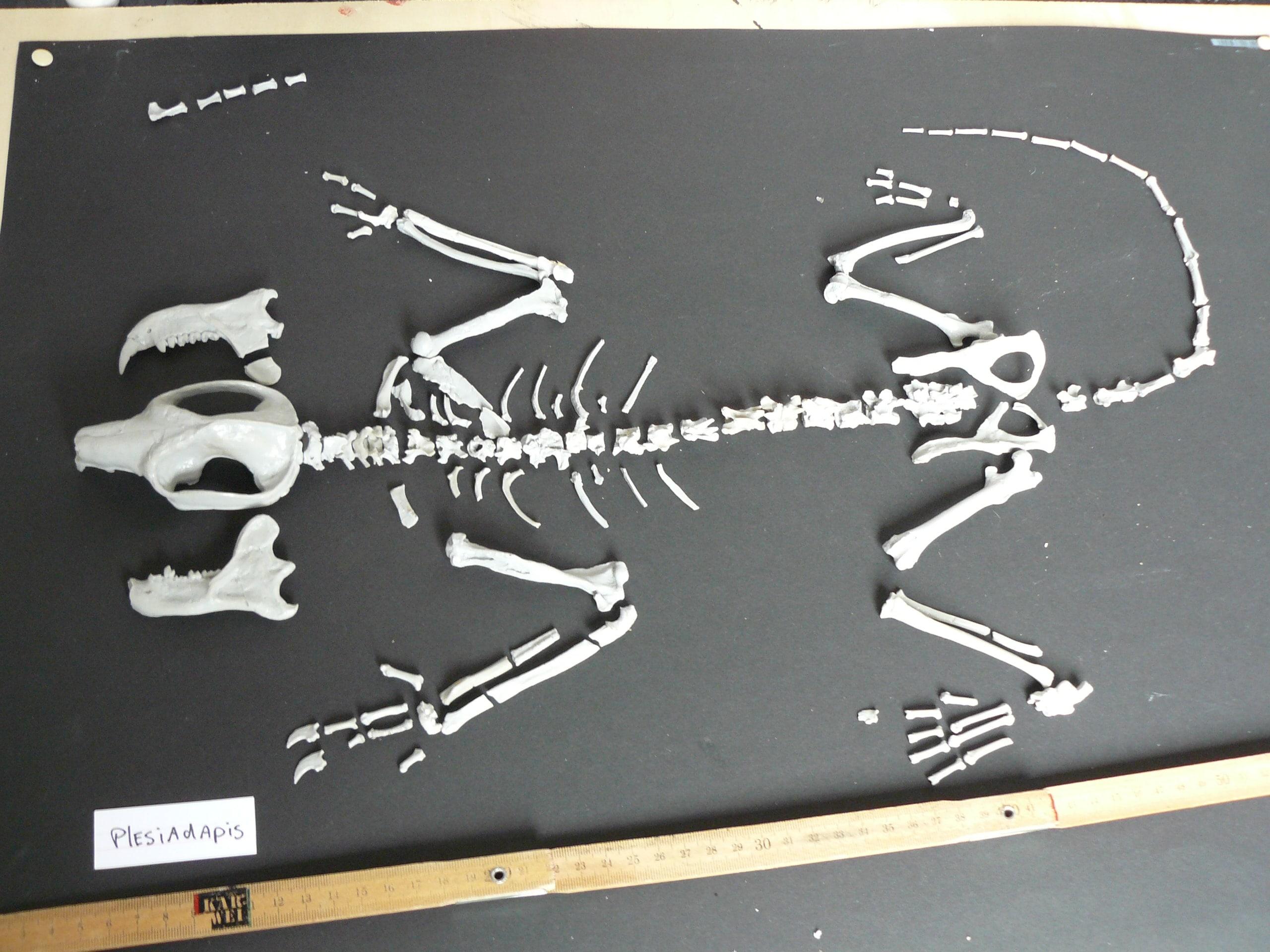 Models & Reconstructions | Plesiadapis I | Brussel Natuur Museum - Paris Zoological Museum - Nature Museum Michigan
