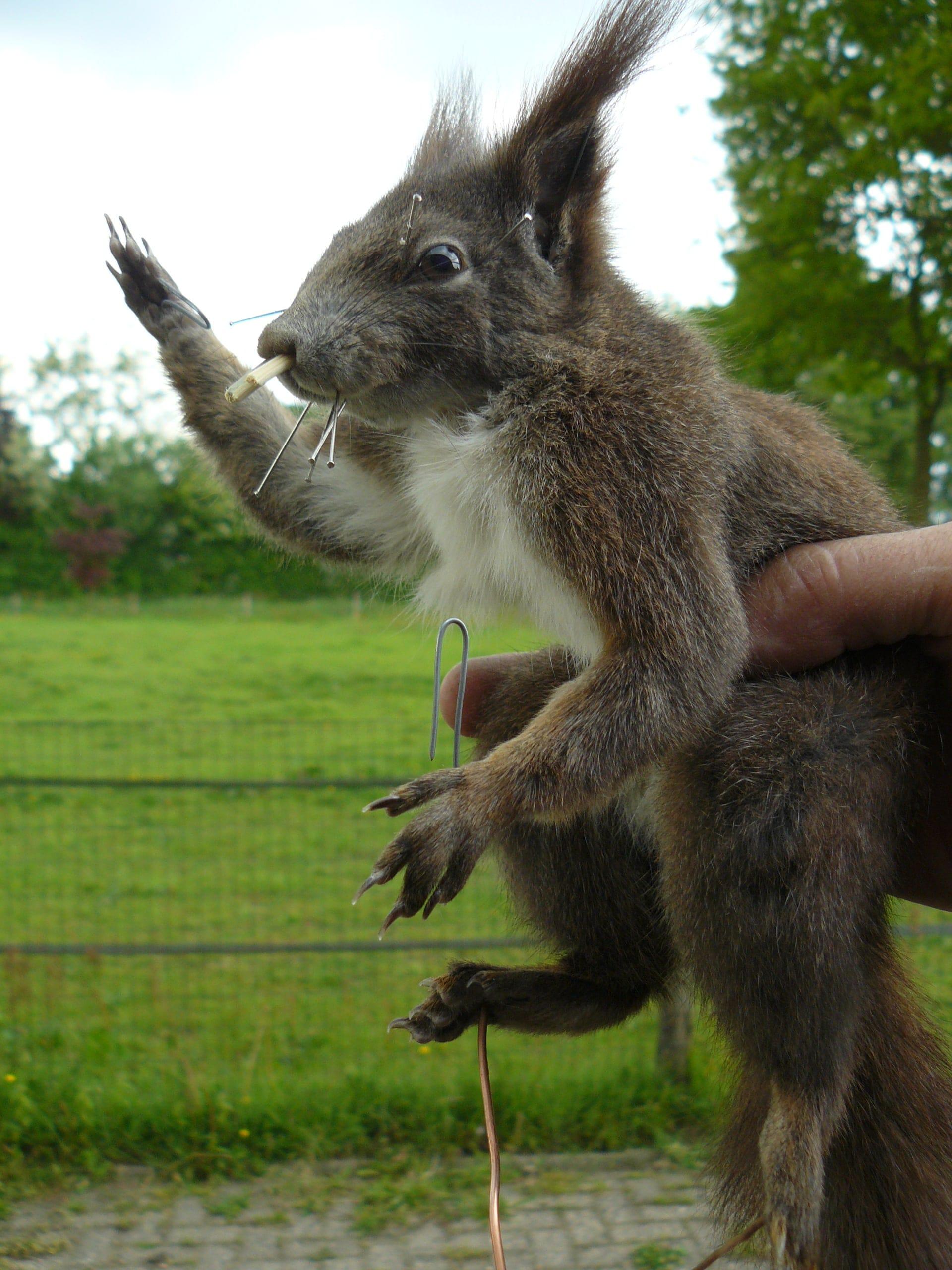 Huidpreparaten | Eekhoorn | Gaia Zoo