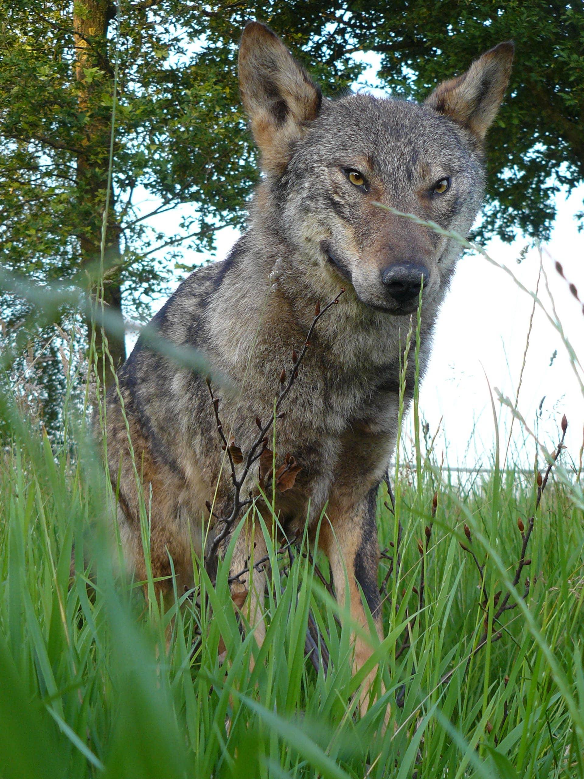 Huidpreparaten | Iberische Wolf | Gaia Zoo