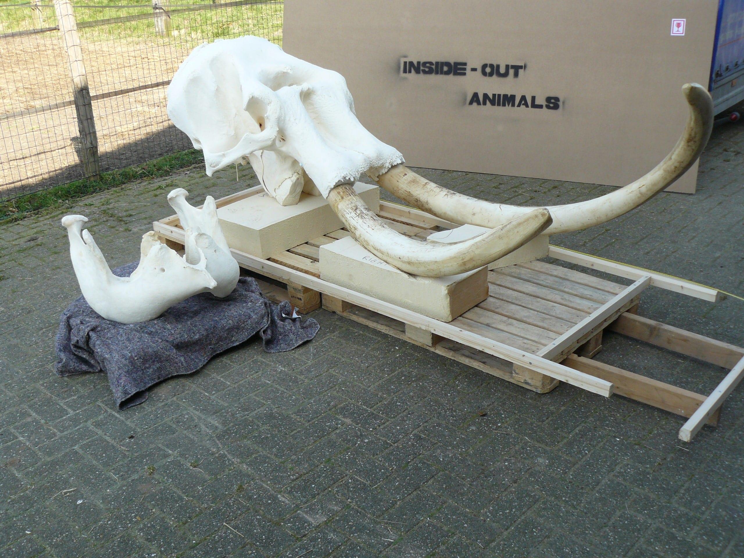 Skeletten | Indische Olifant | Riga Zoo Emmen