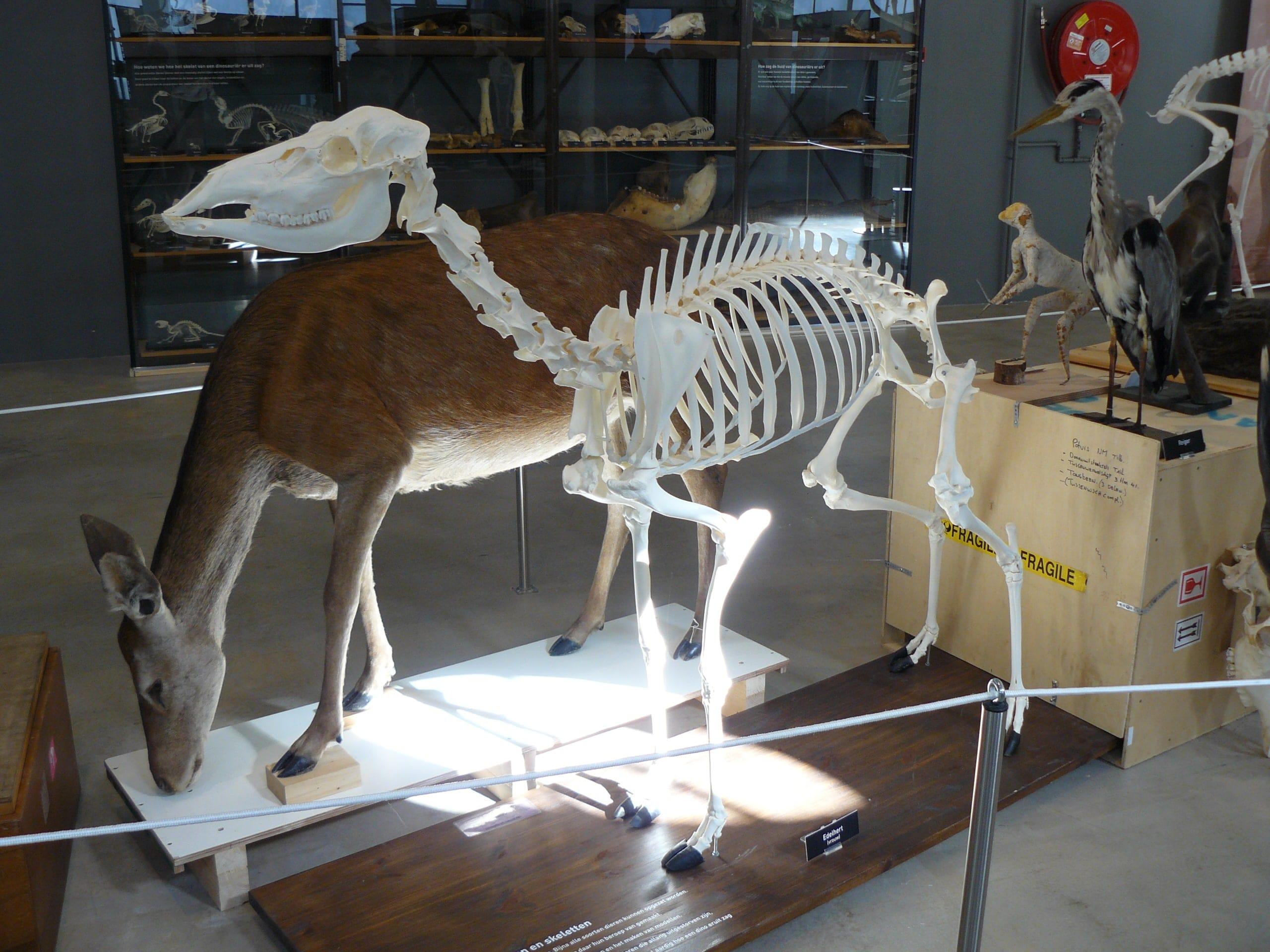 Skeletten | Edelhert