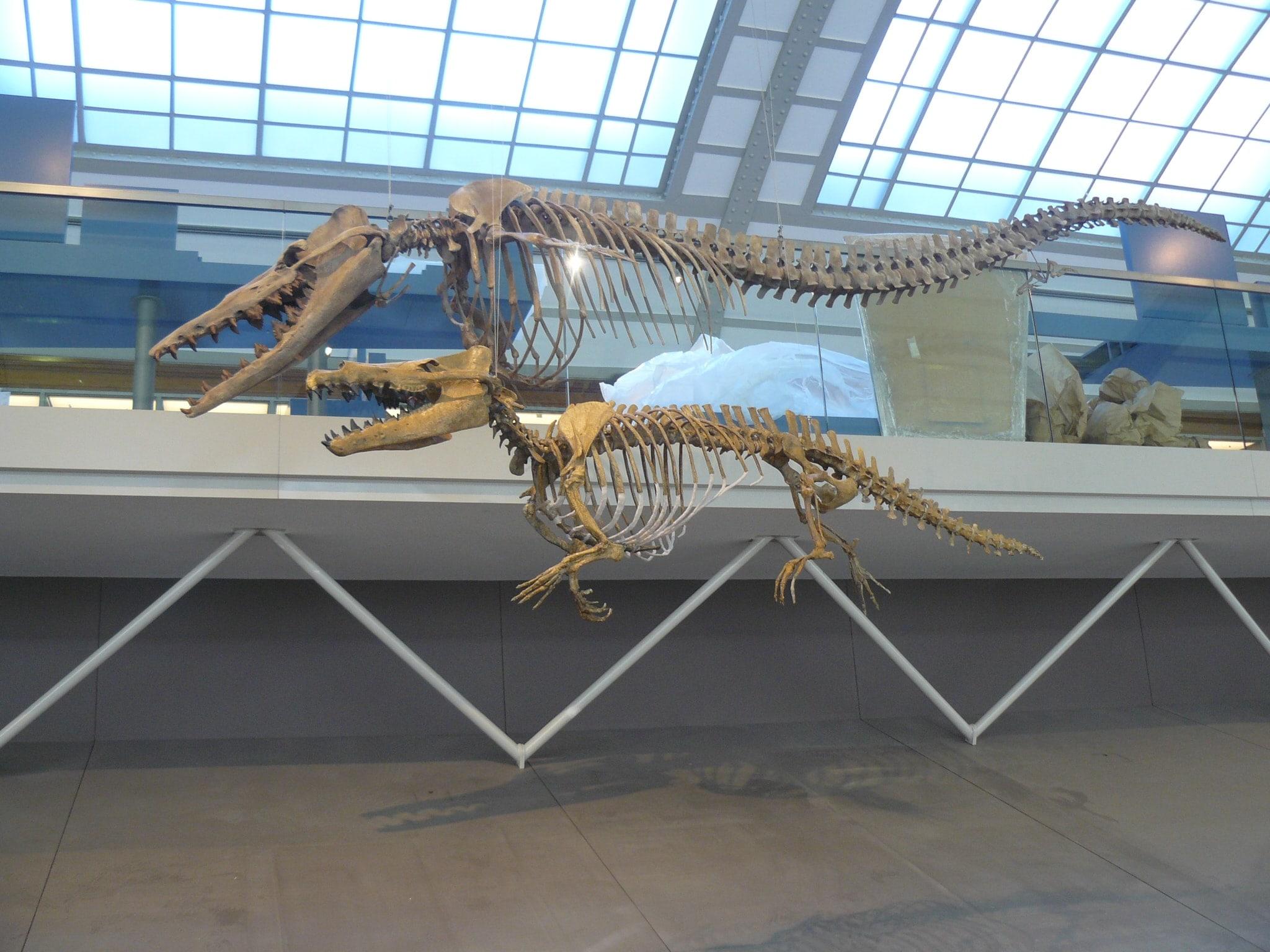 Skeletten | Maiacetus II | Brussels Natuur Museum