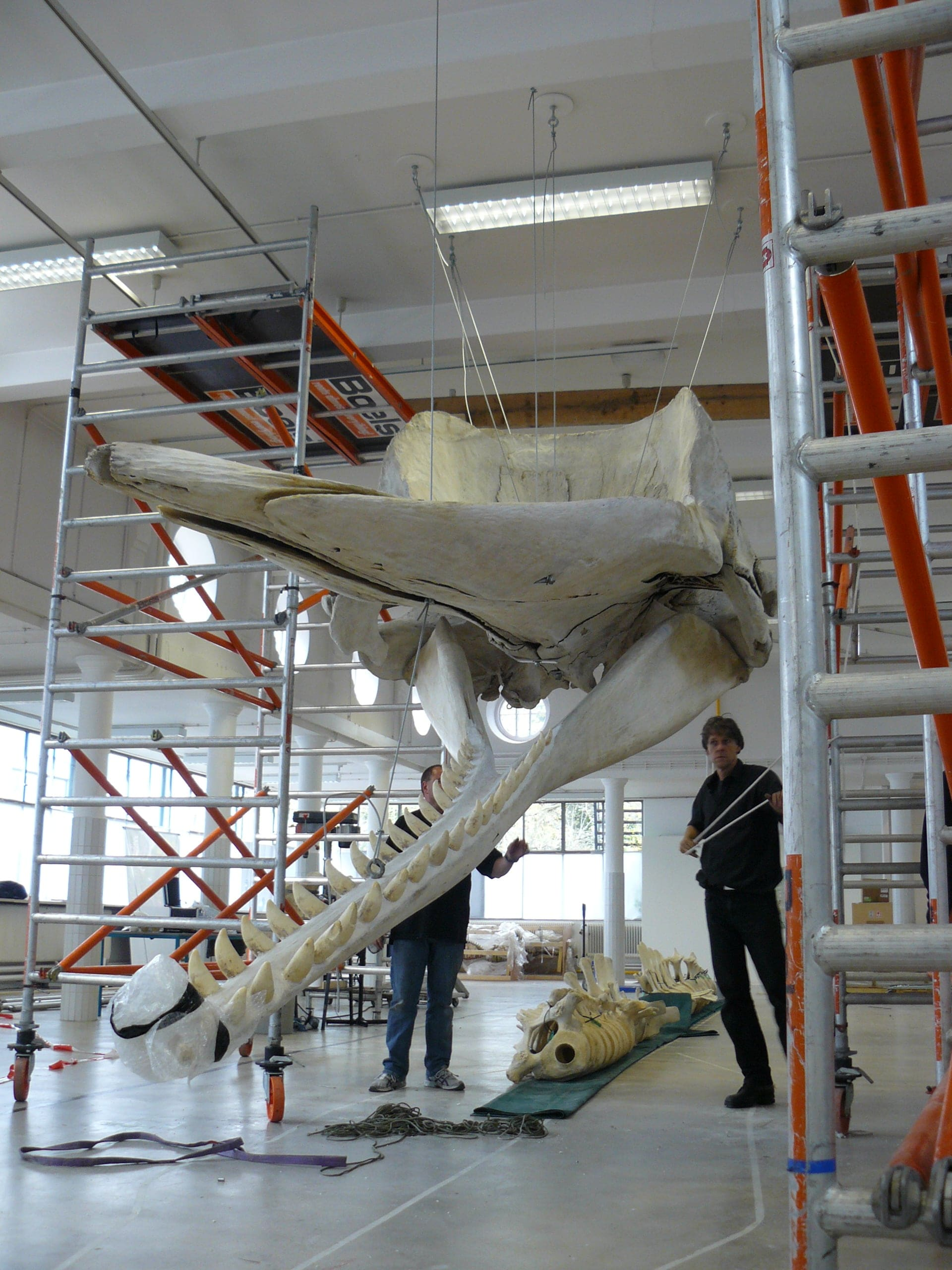 Skeletten | Potvis III | Natuur Museum Brabant