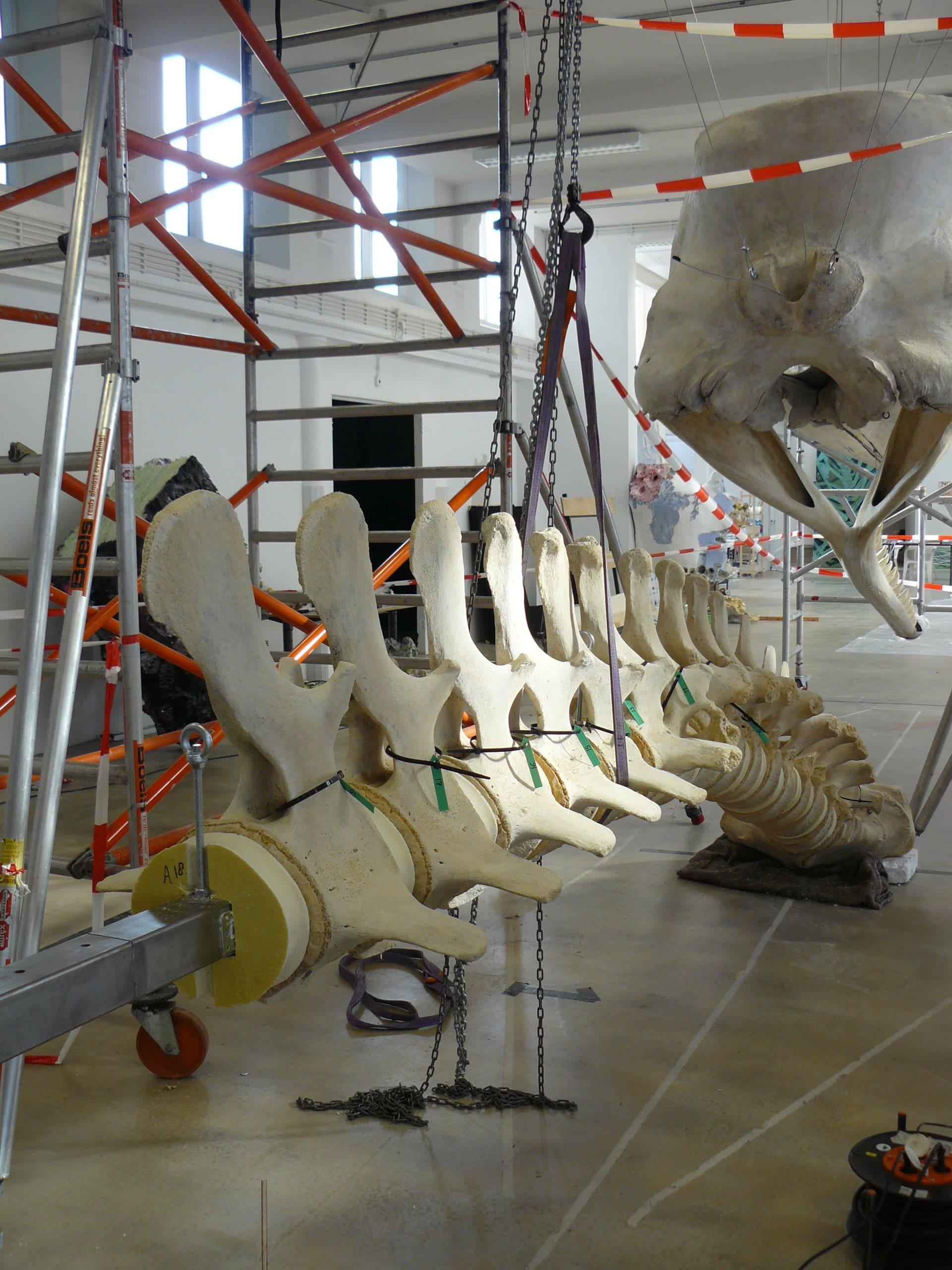 Skeletten | Potvis IV| Natuur Museum Brabant