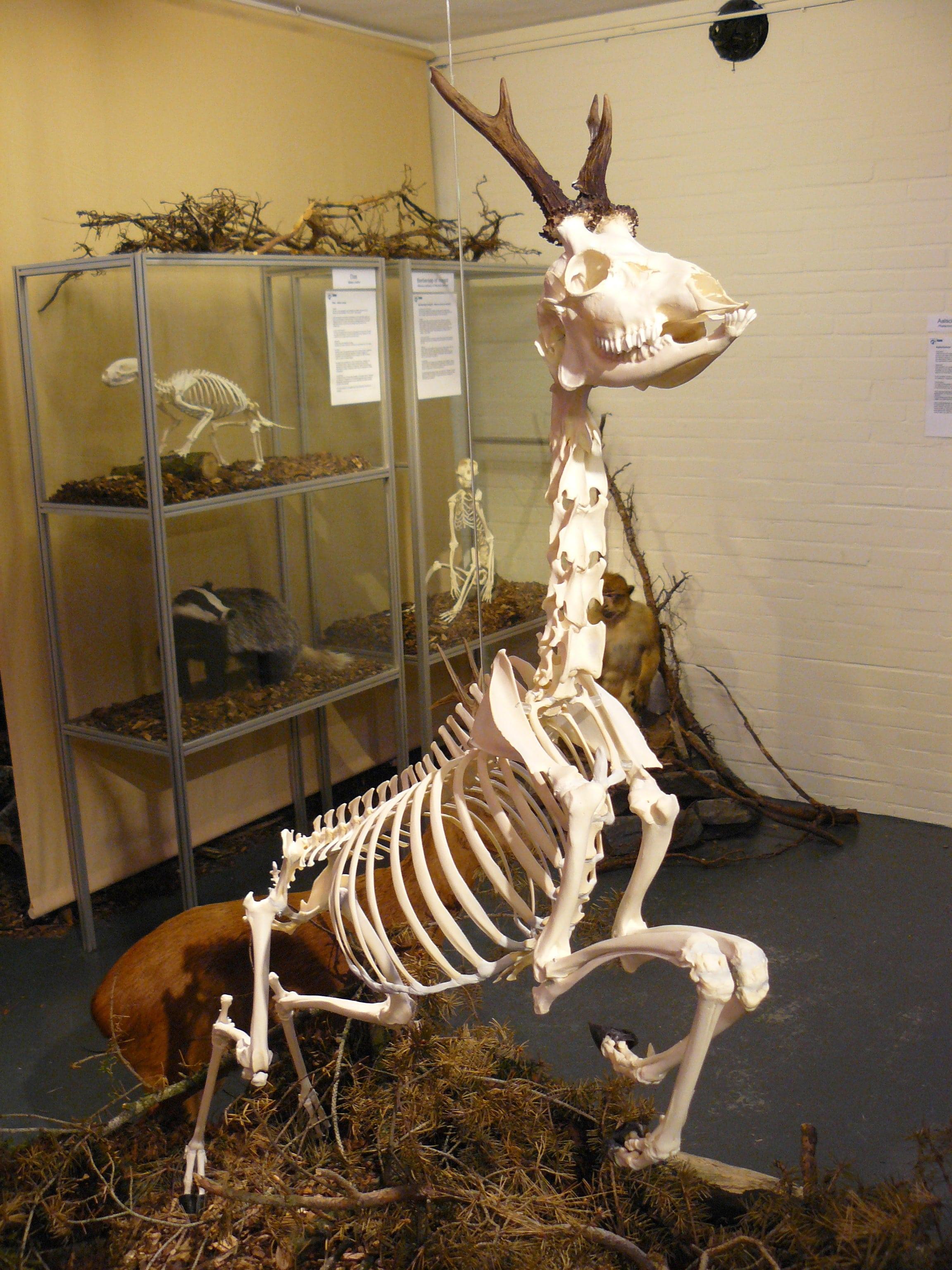 Skeletten | Ree | Holterberg