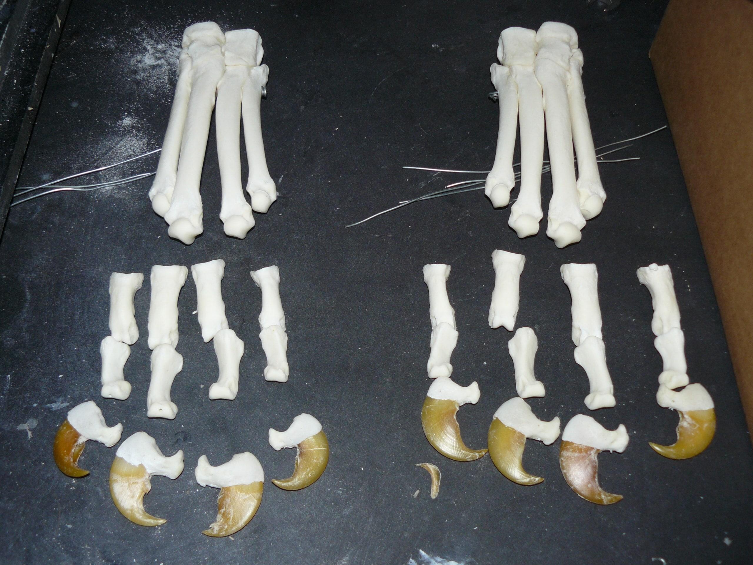 Skeletten | Tijgerklauwen | Safaripark Beekse Bergen