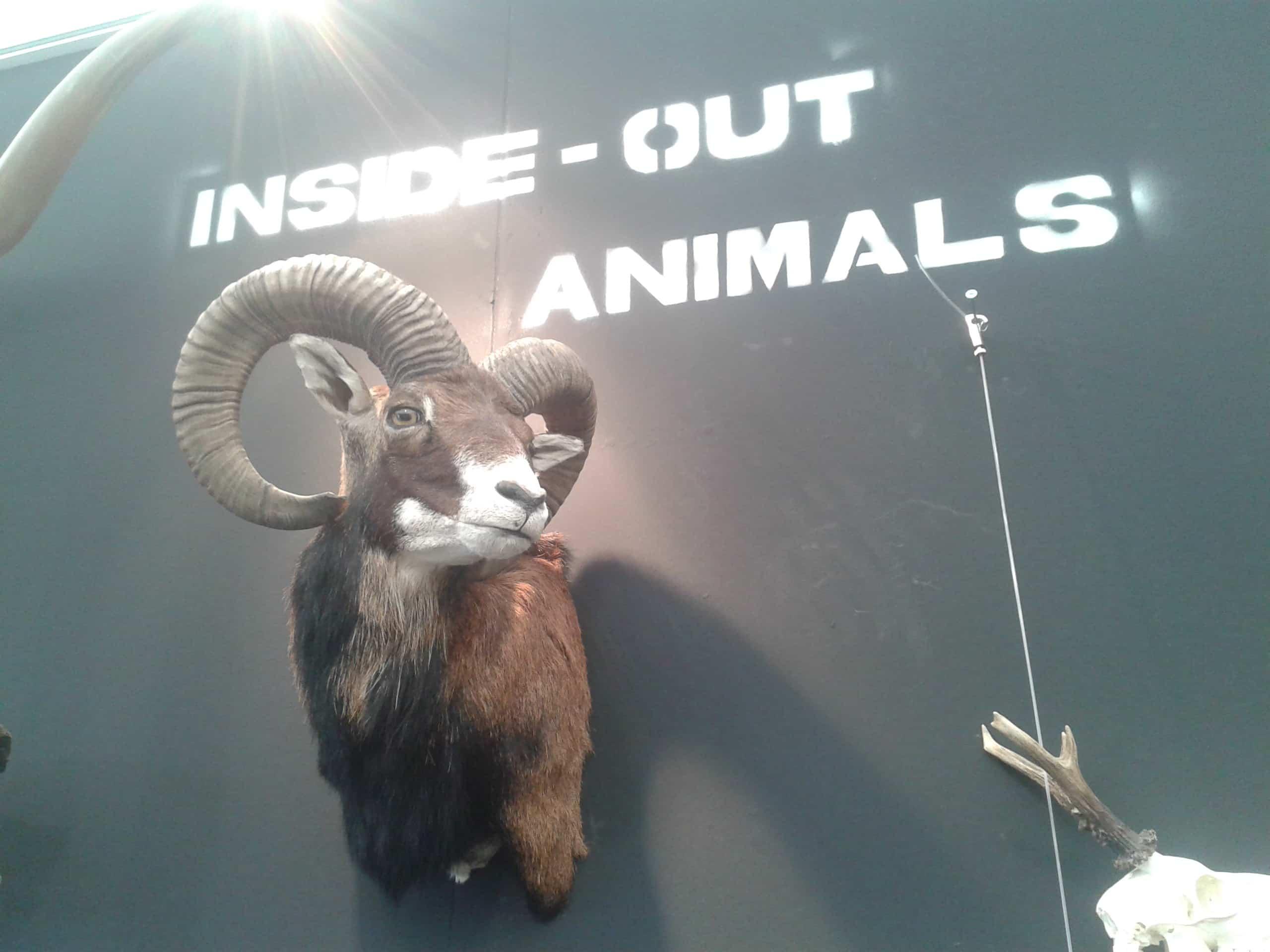Mounted Animals | Moufflon | Fauna Exhibition Ardennen