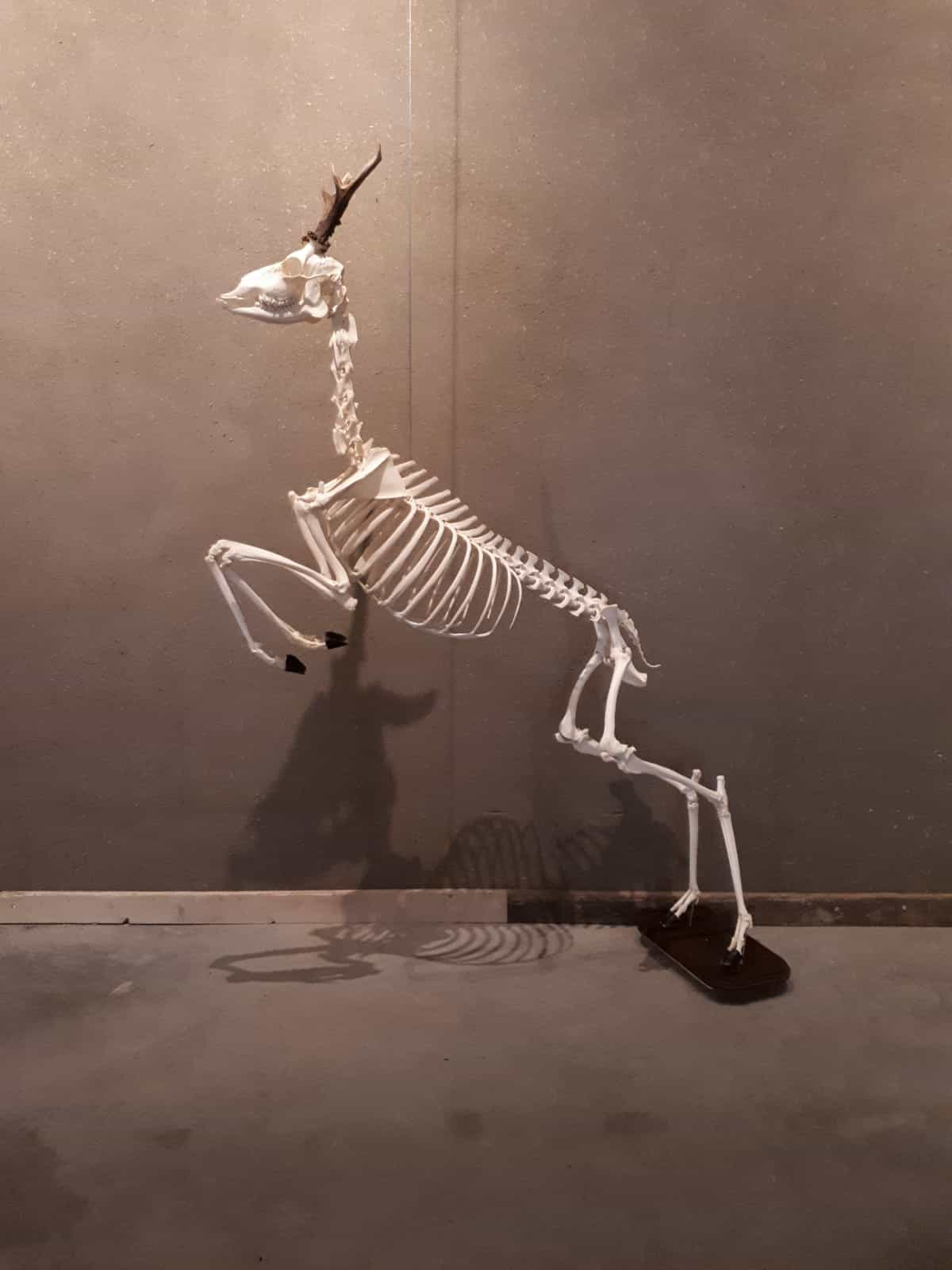 Skeletons | Leaping Deer | Limburghuis GAIA Zoo
