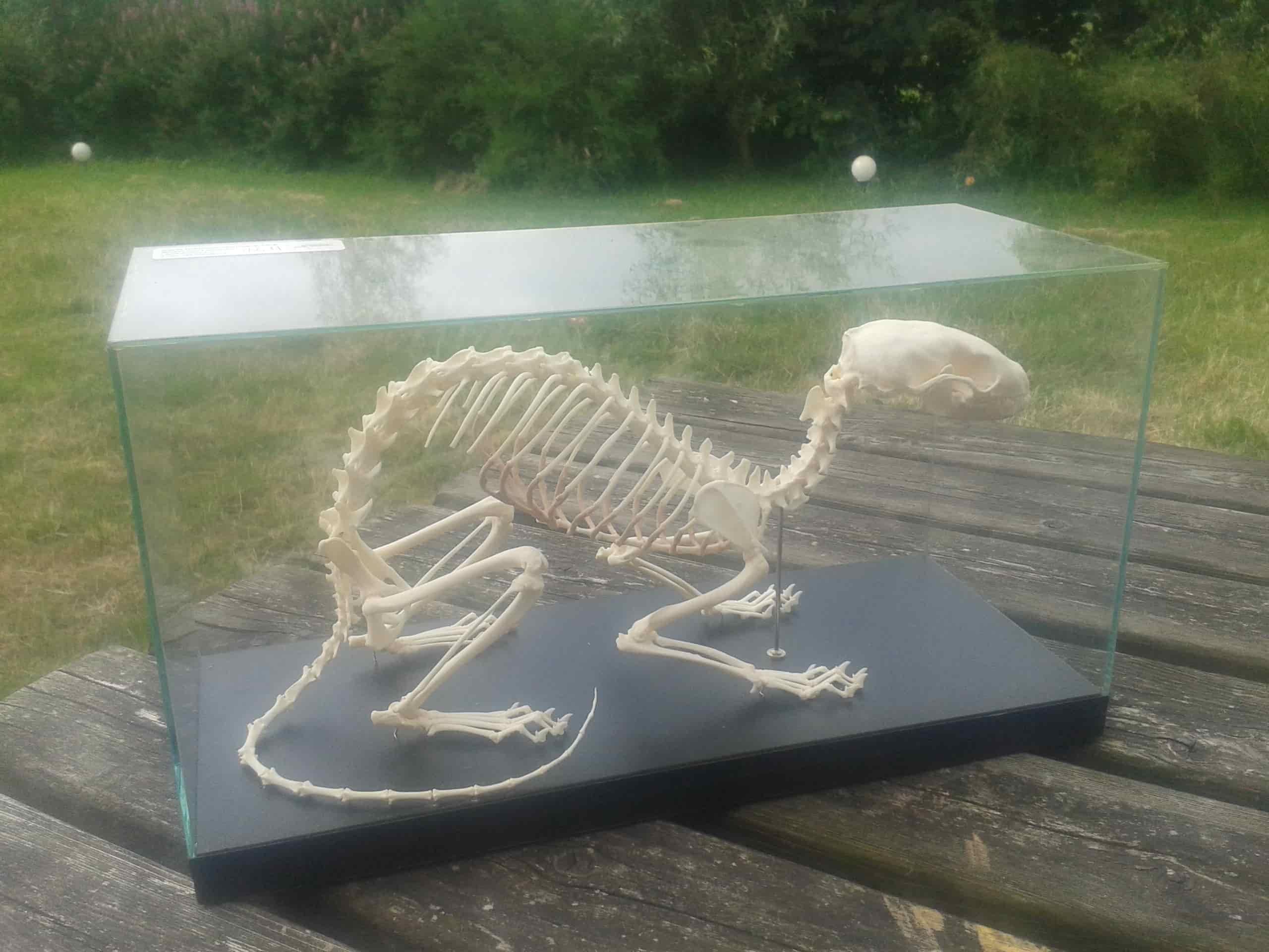 Skeletten | jonge steenmarter | Limburghuis GaiaZOO Kerkrade