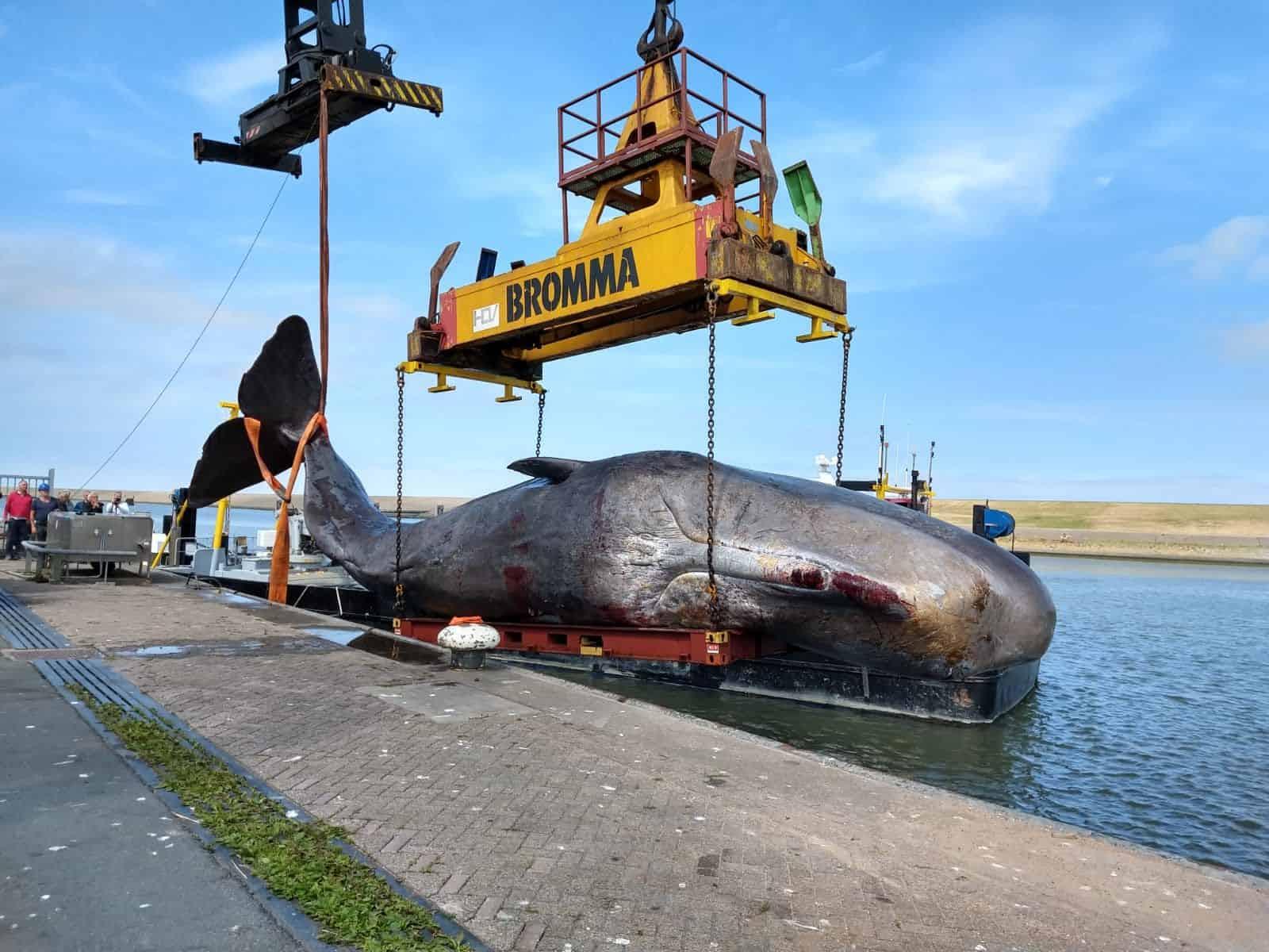 Skeletons | Dissection Sperm Whale in Den Helder I | Naturalis Biodiversity Center