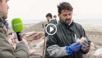 Cutting whales that have washed ashore | Dumpert TV (dutch)