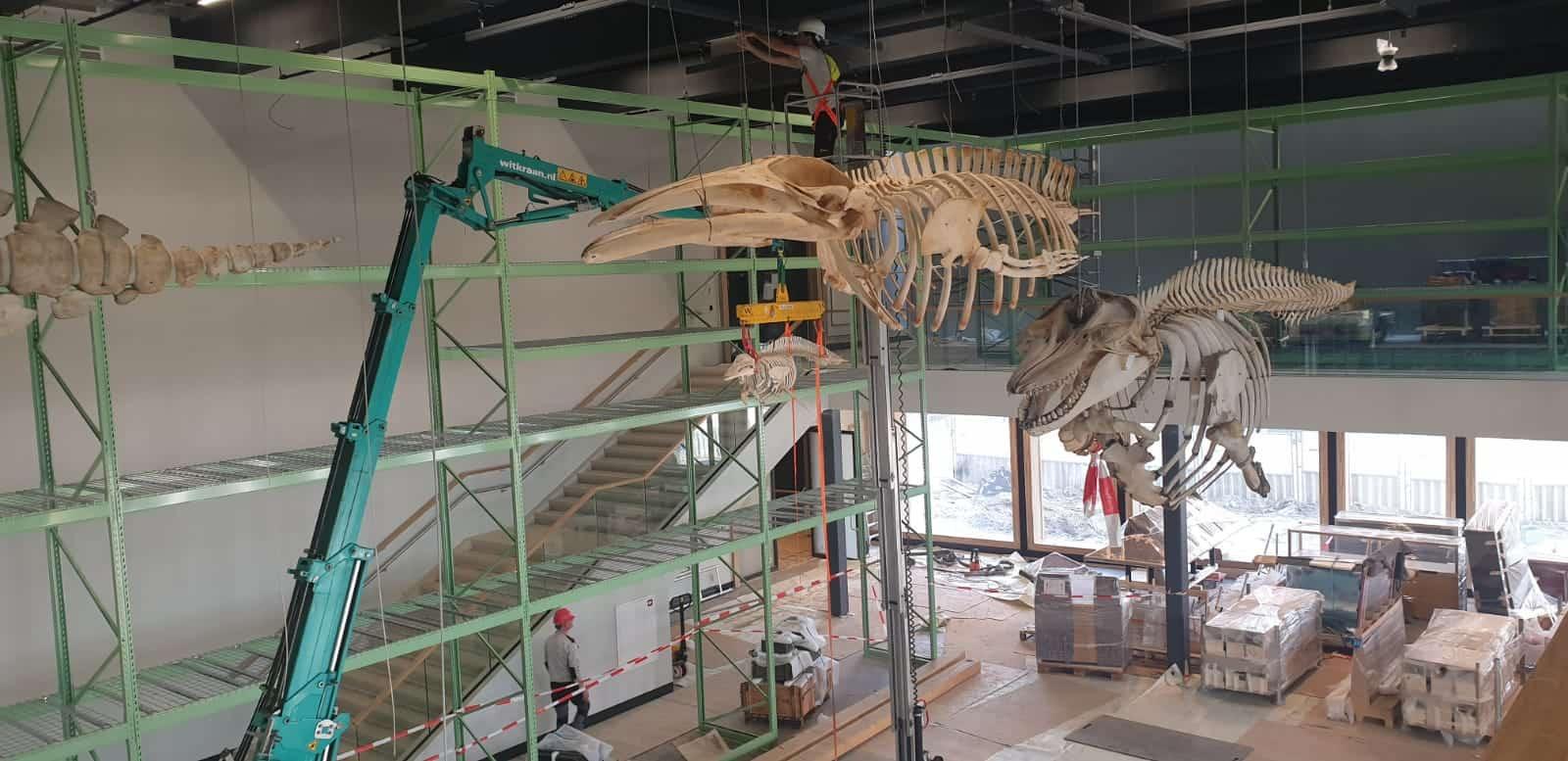 Skeletten | ophangen Noordse vinvis (11 m.), orka & witsnuitdolfijn | Naturalis Biodiversity Center