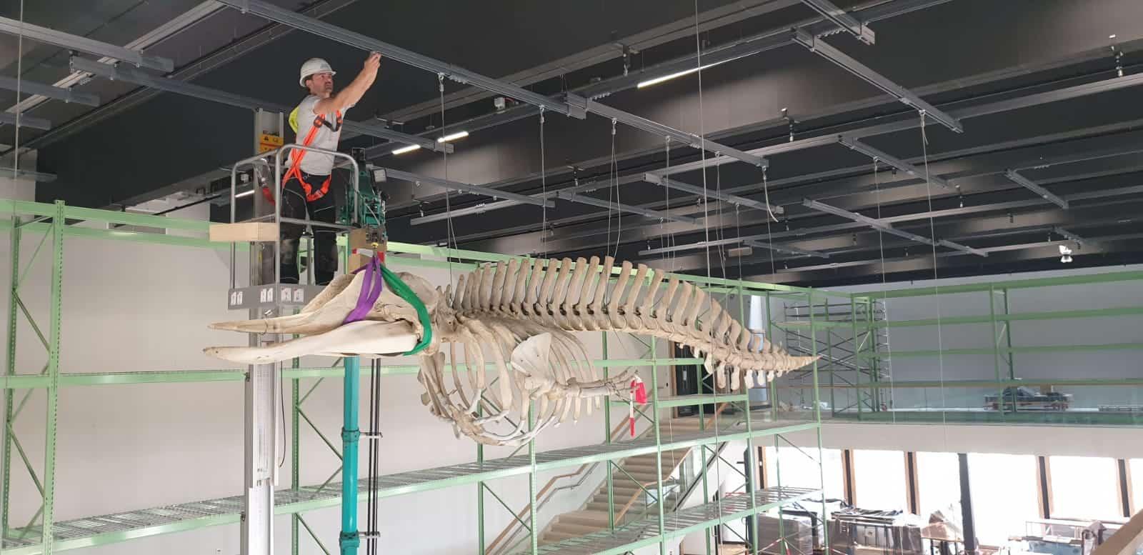 Skeletten | Ophangen butskop | Naturalis Biodiversity Center
