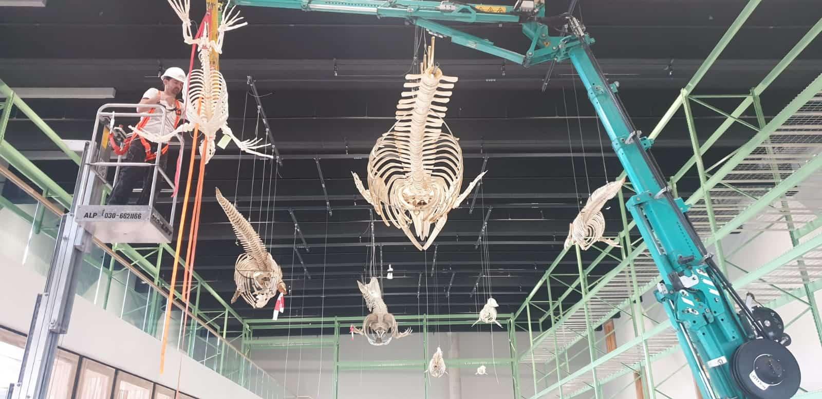 Skeletten | Ophangen skeletten | Naturalis Biodiversity Center