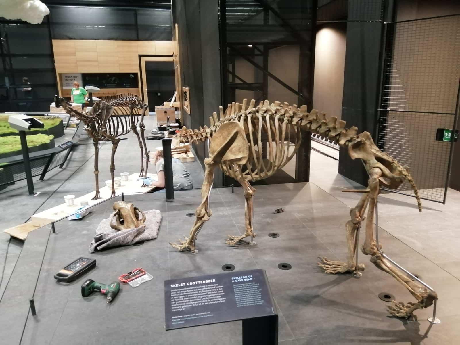Skeletten | montage edelhert & holenbeer | Naturalis Biodiversity Center