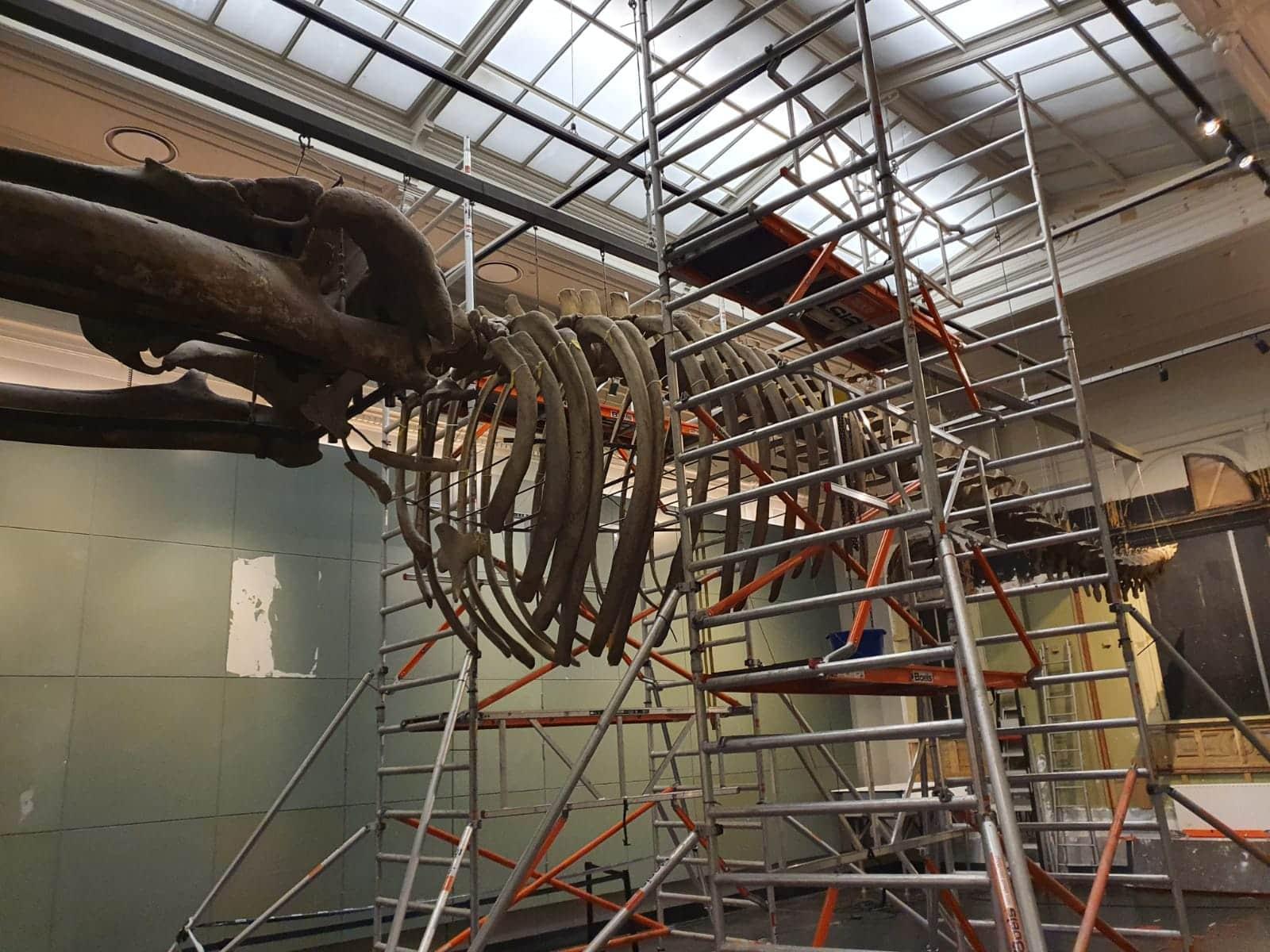 Moving whale skeleton | disassembling diaphragm| Artis