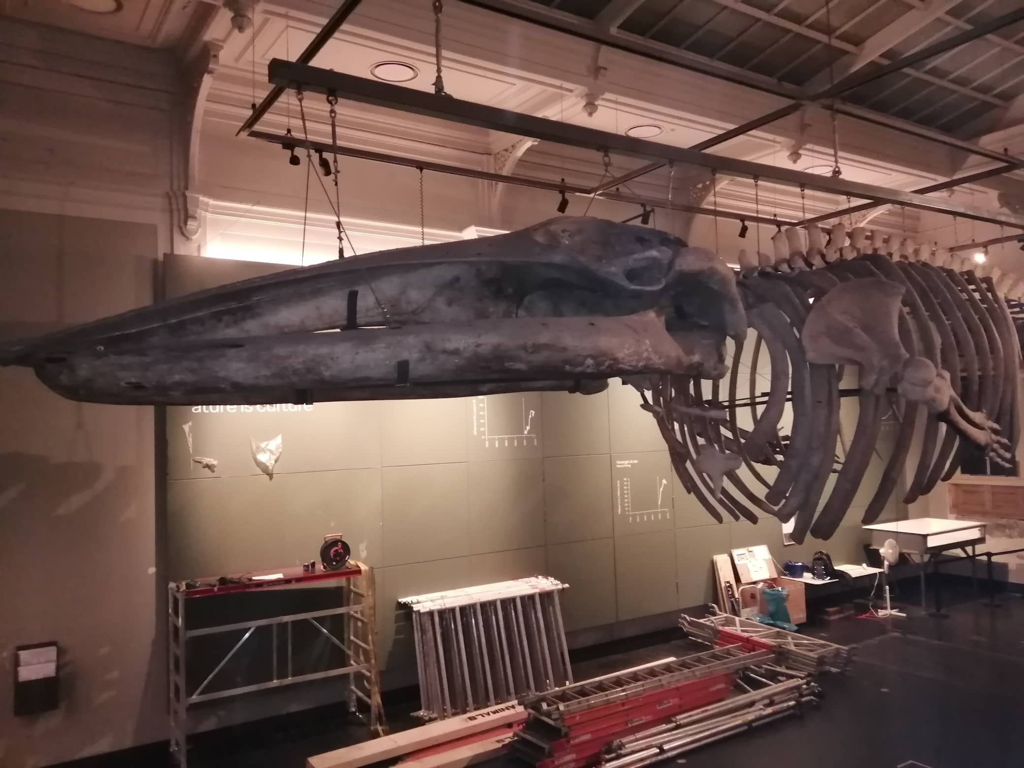 Moving whale skeleton | situation before disassembly | Artis