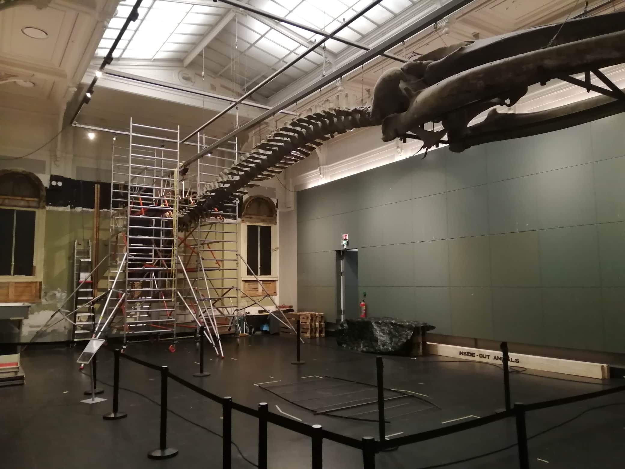 Moving whale skeleton | disassembly tail vertebrae | Artis