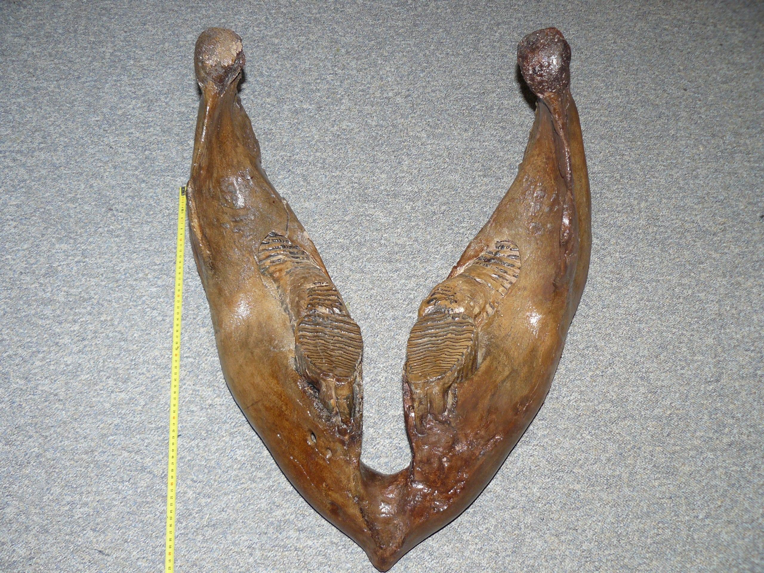 Fossielen & Dinosauriërs | Mammoet nà Restauratie