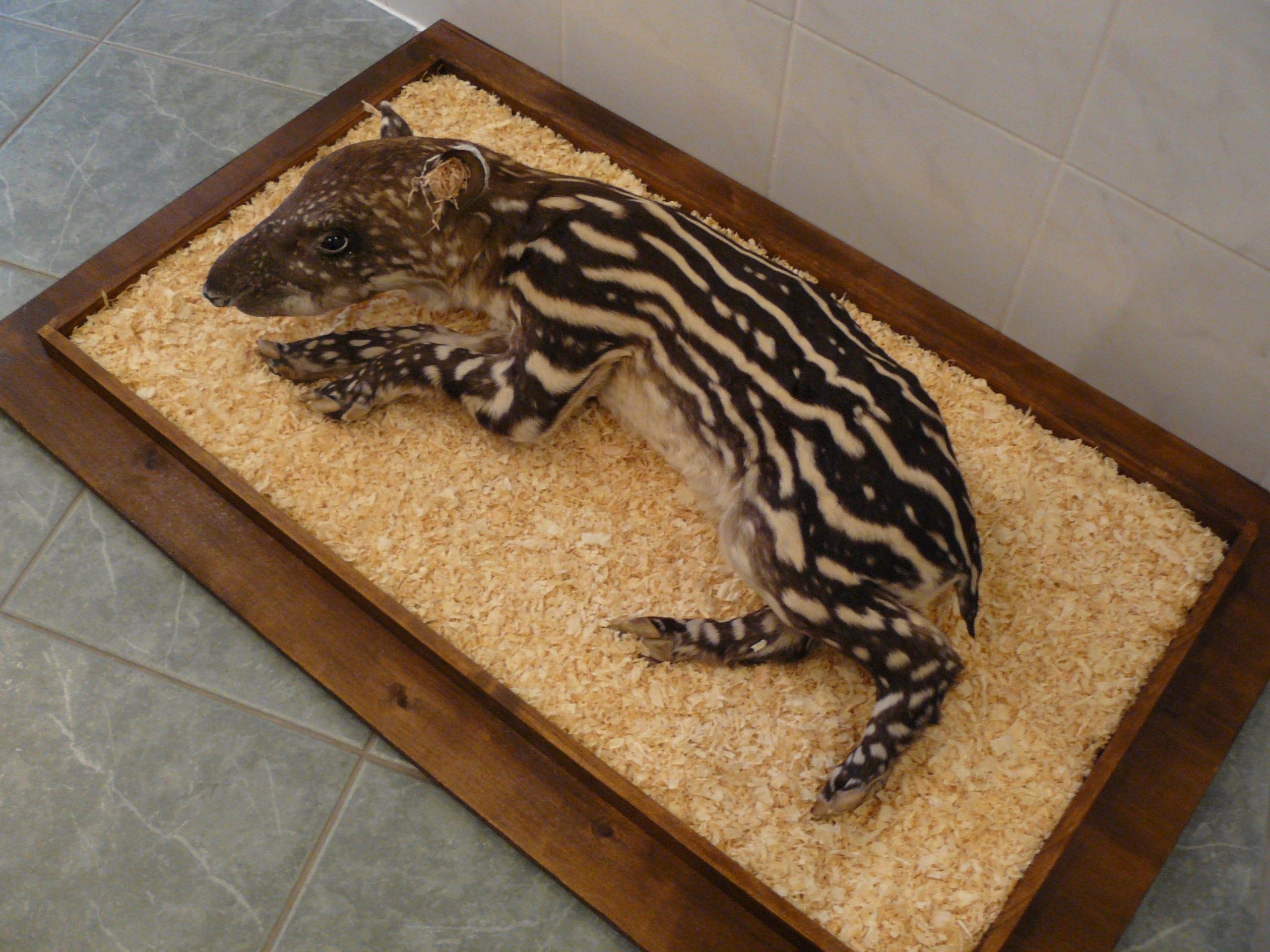 Huidpreparaten | Tapirjong | Gaia Zoo