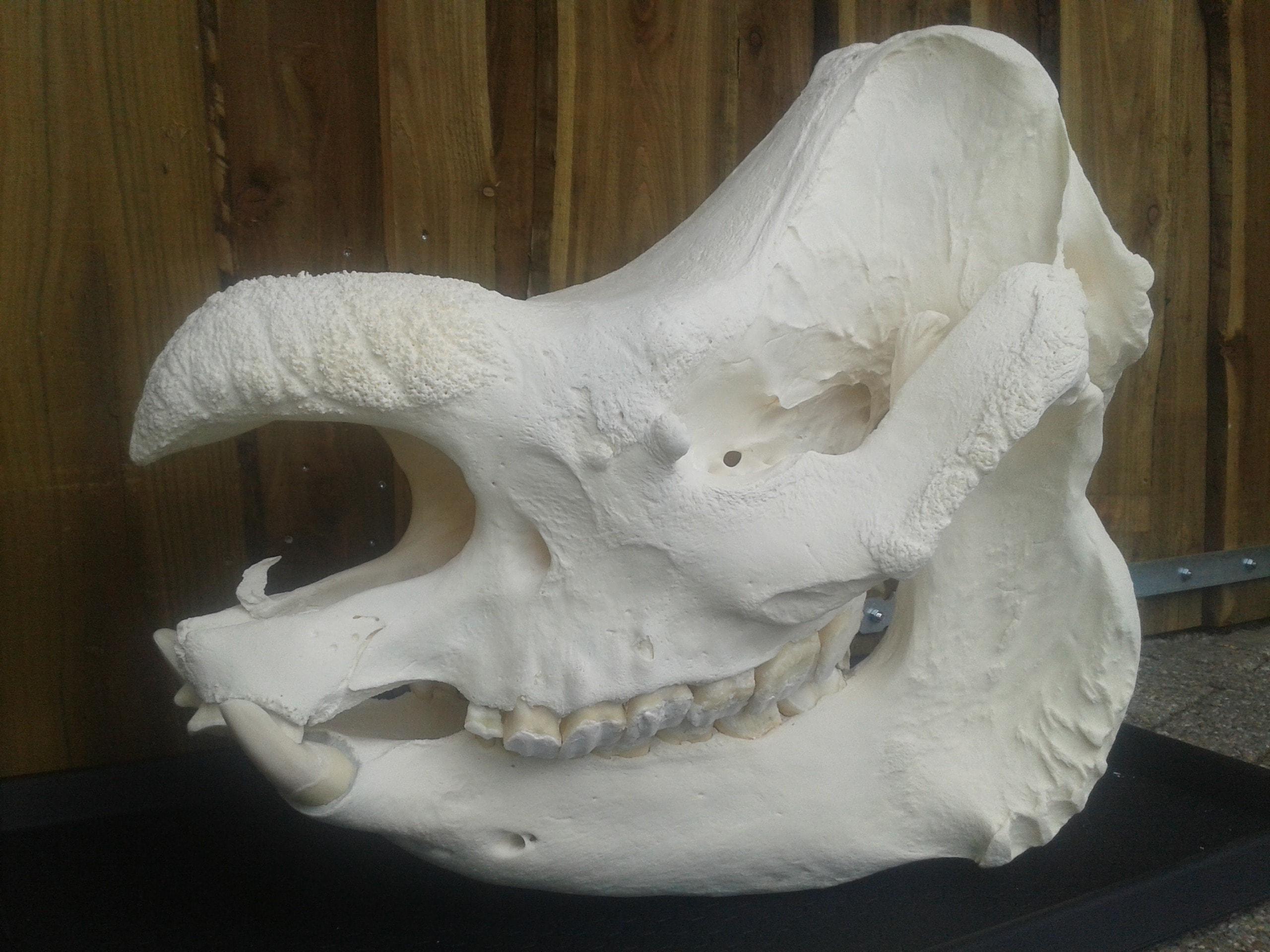 Skeletten | Indische Neushoorn | Amersfoort Zoo