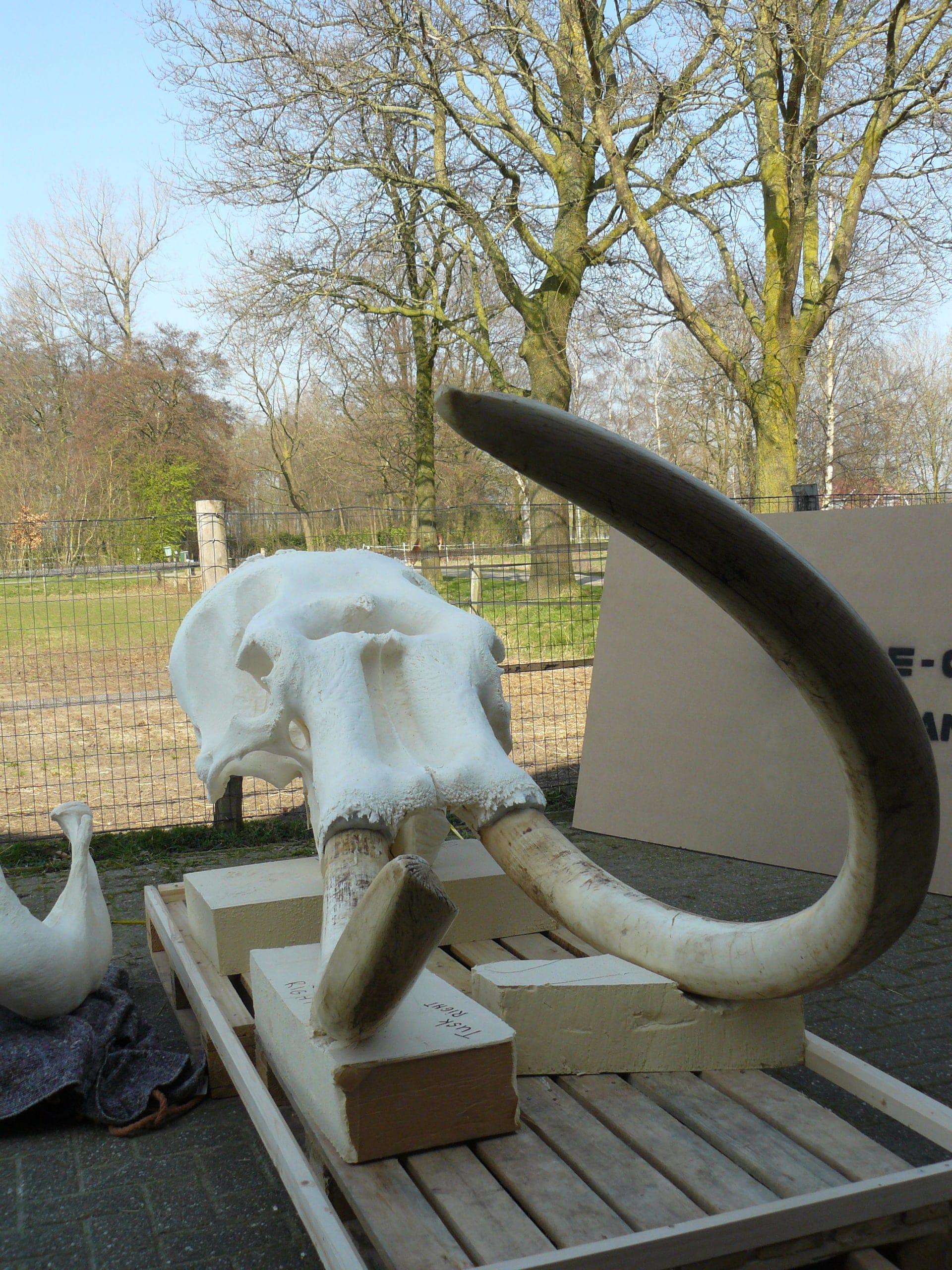 Skeletten | Indische Olifant III | Riga Zoo Emmen