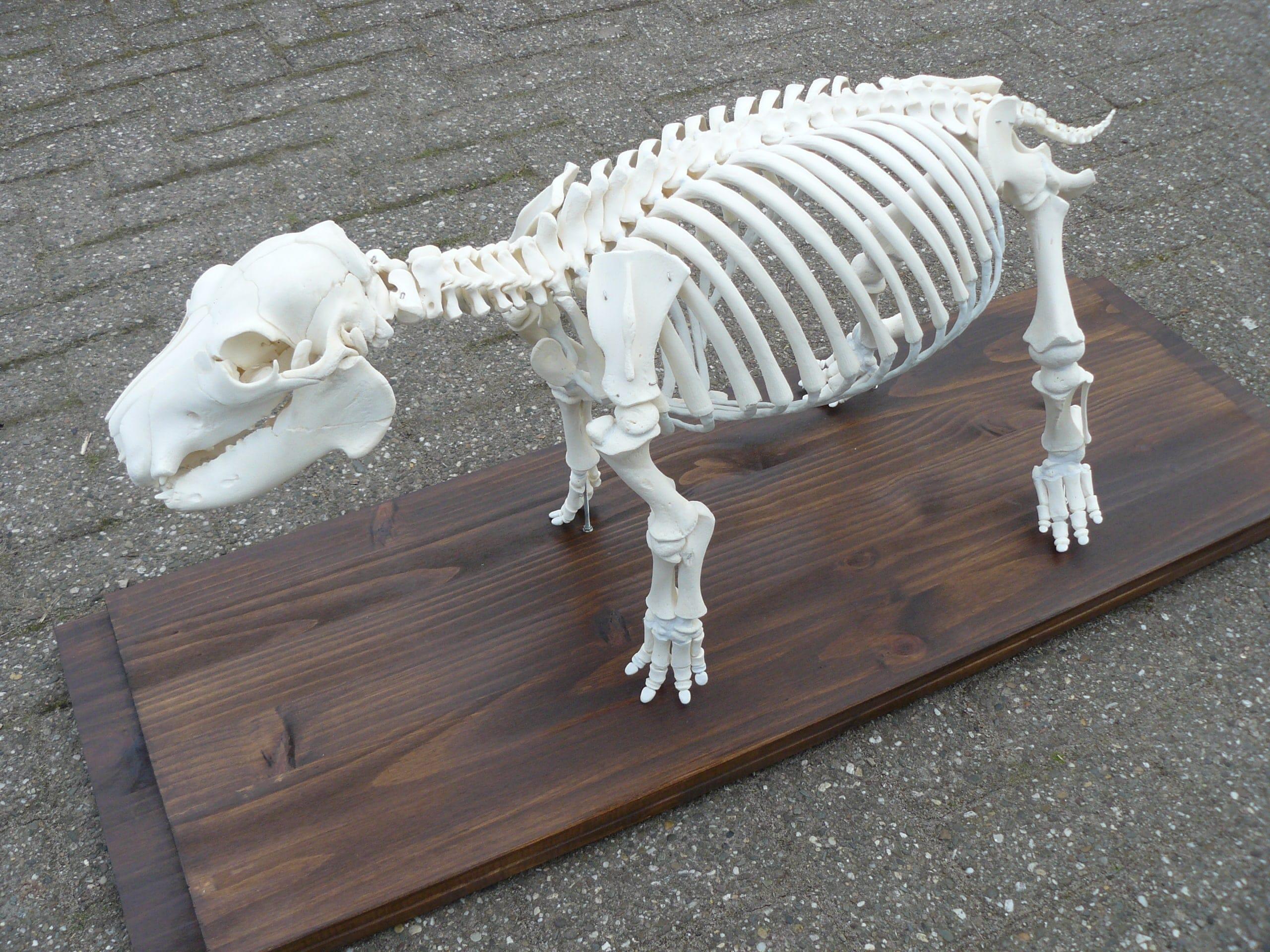 Skeletten | Nijlpaardjong