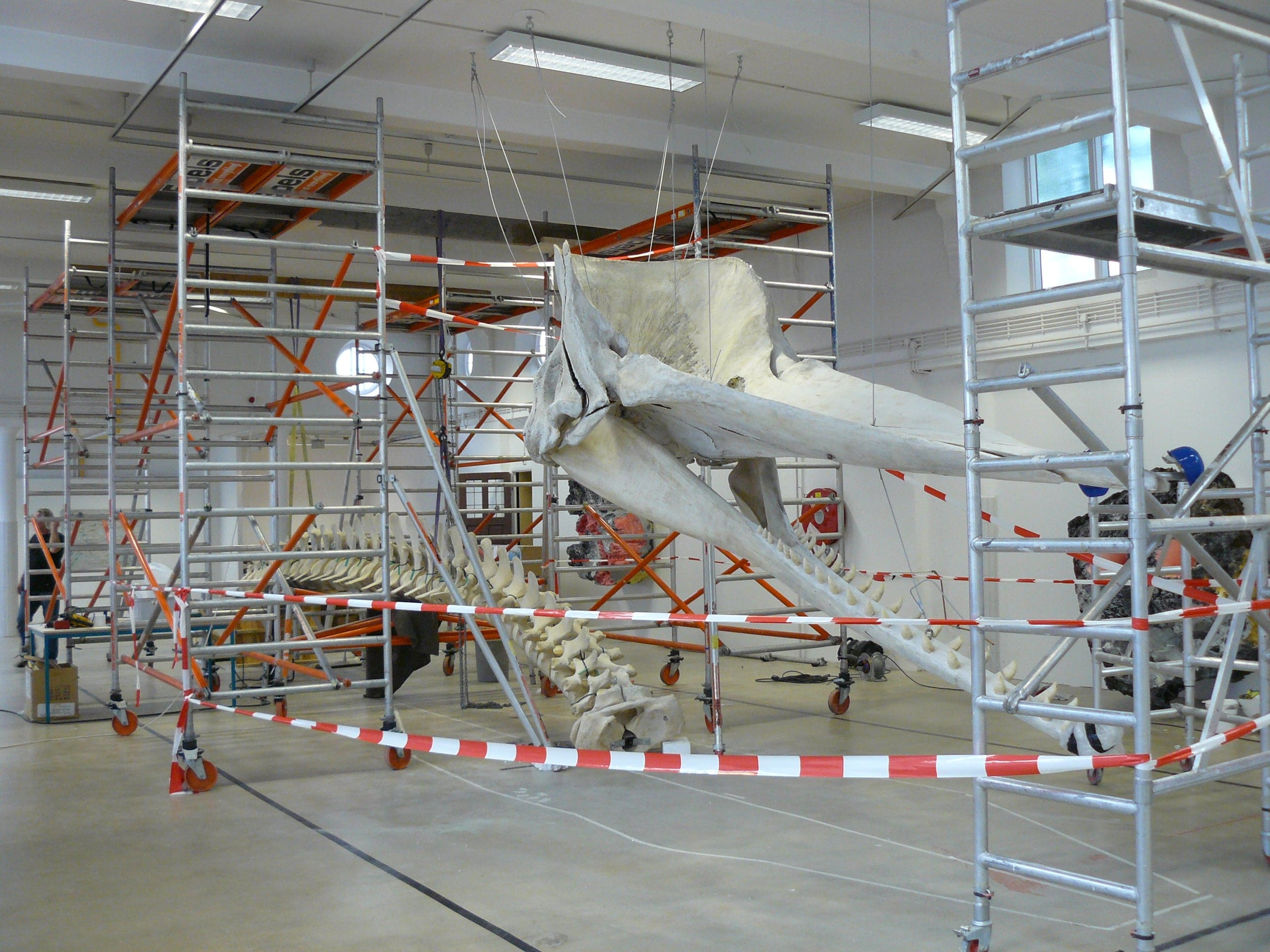 Skeletten | Potvis | Natuur Museum Brabant