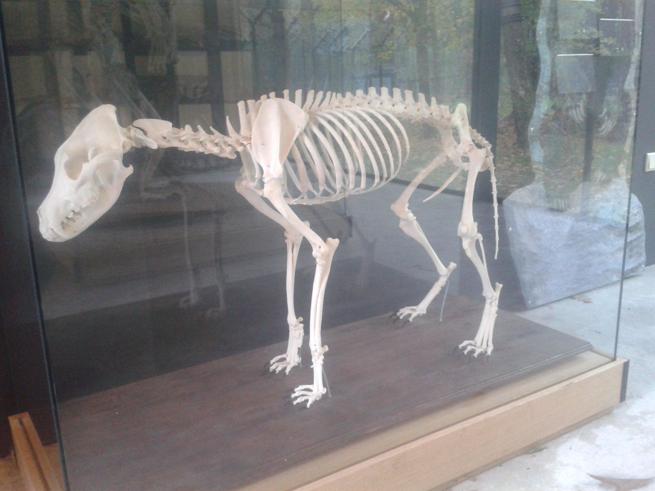 Skeletten | Wolf | Ouwehands Dierenpark