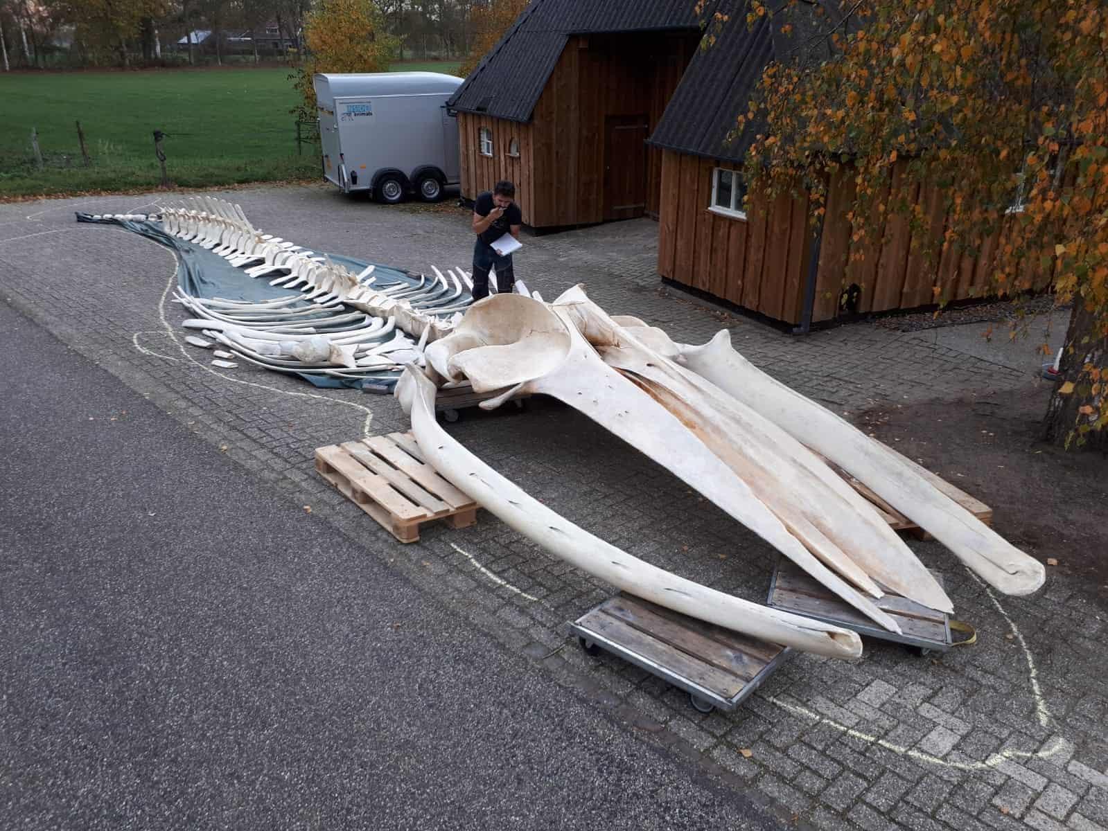 Skeletten | gewone vinvis 17,5 meter | Naturalis Biodiversity Center