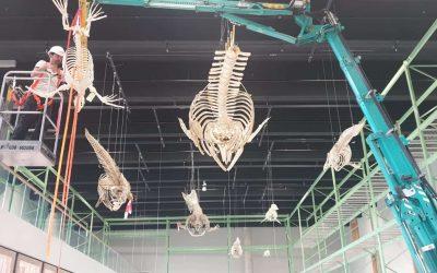 ophangen Noordse vinvis (11 meter), orka en witsnuitdolfijn