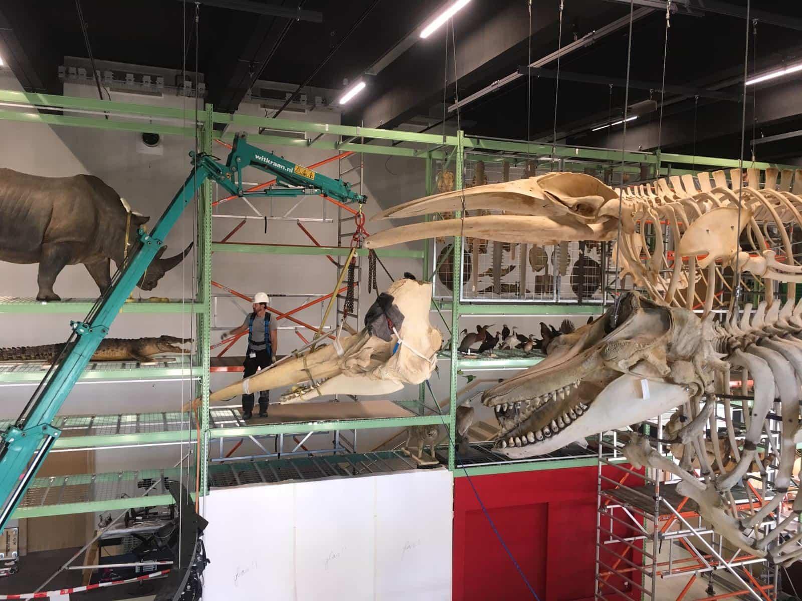 Skeletten | Plaatsen schedel potvis | Naturalis Biodiversity Center