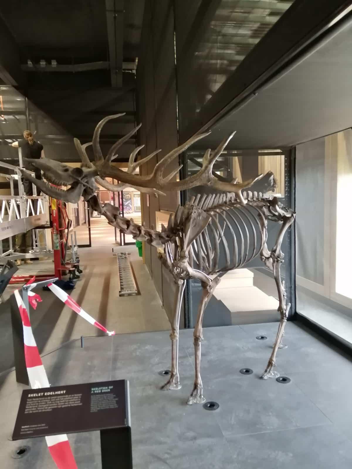Skeletten | montage pleistoceen edelhert  | Naturalis Biodiversity Center