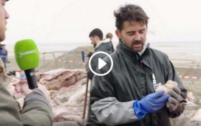 Aangespoelde Walvissen Snijden | Dumpert TV