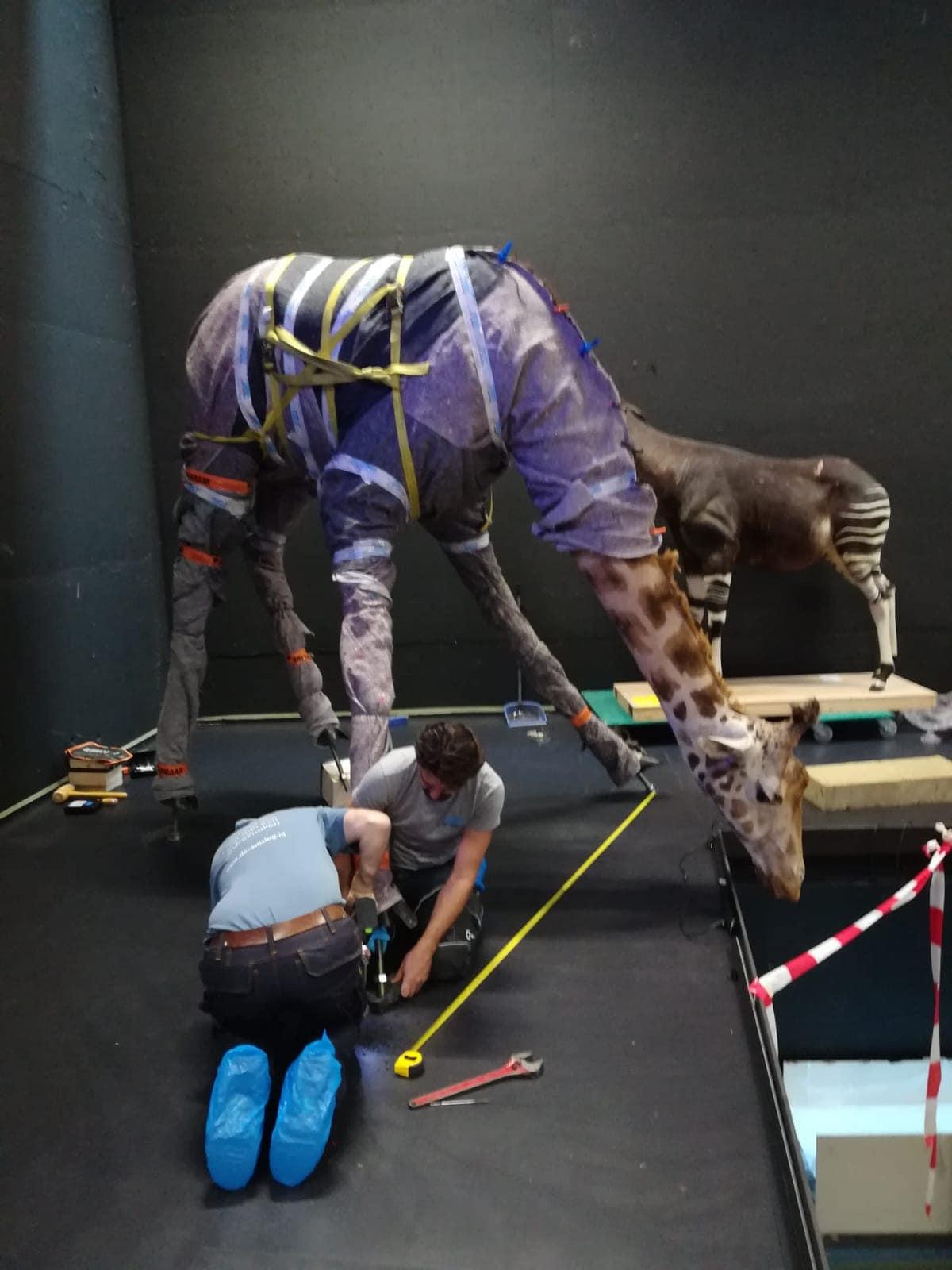 Huidpreparaten | drinkende giraffe II | Naturalis Biodiversity Center